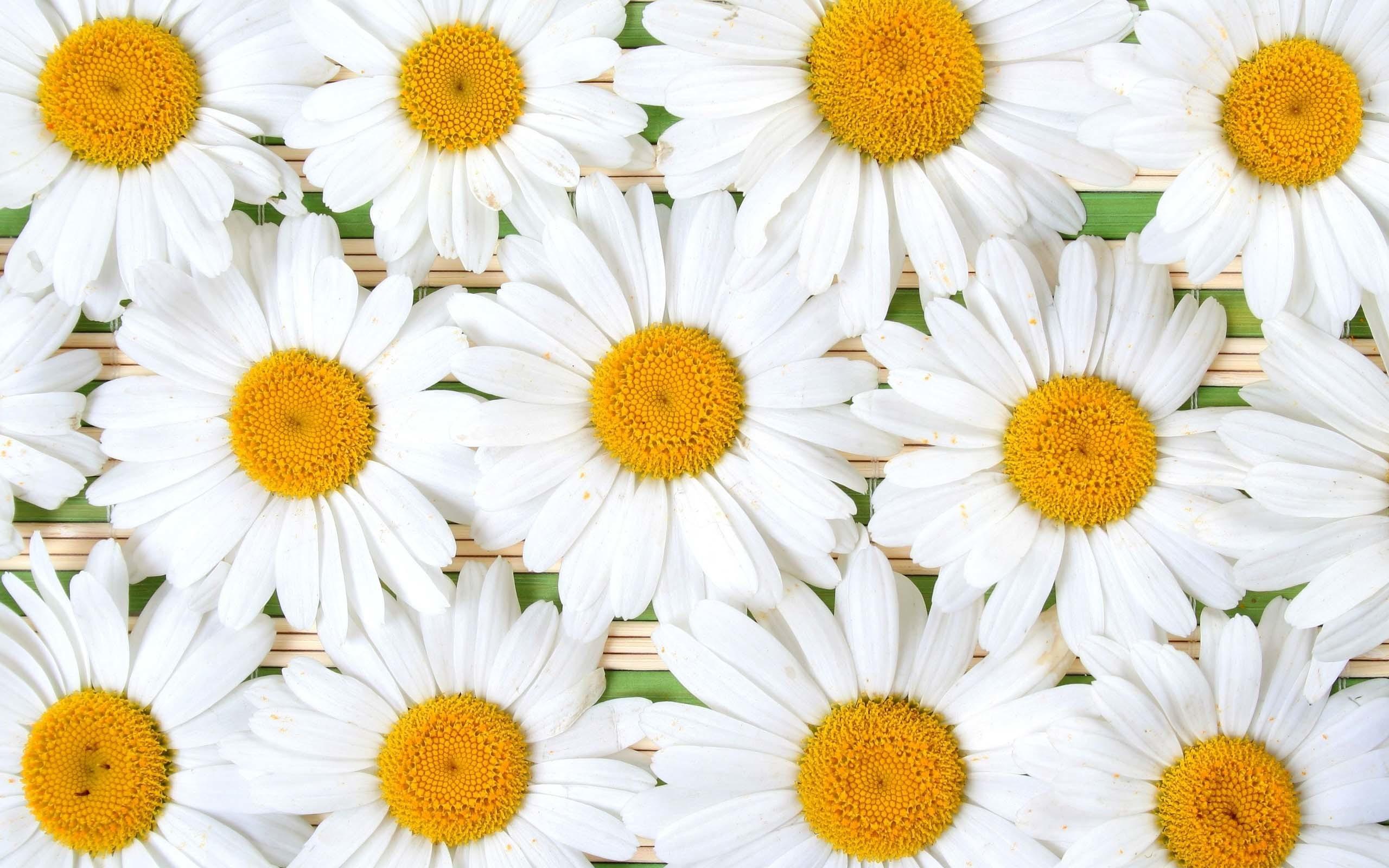 Daisy Flower Wallpaper 57 Images