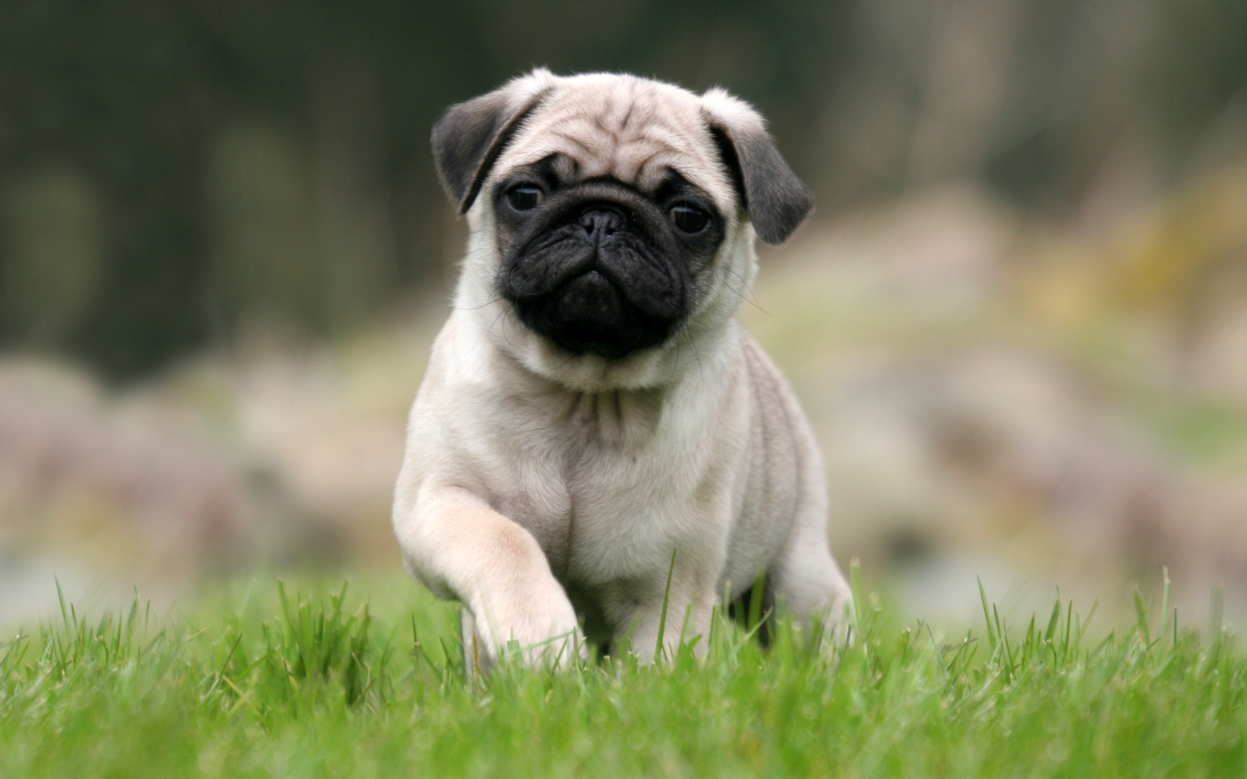 2560x1600 Free-Desktop-Pug-Wallpapers-Photos