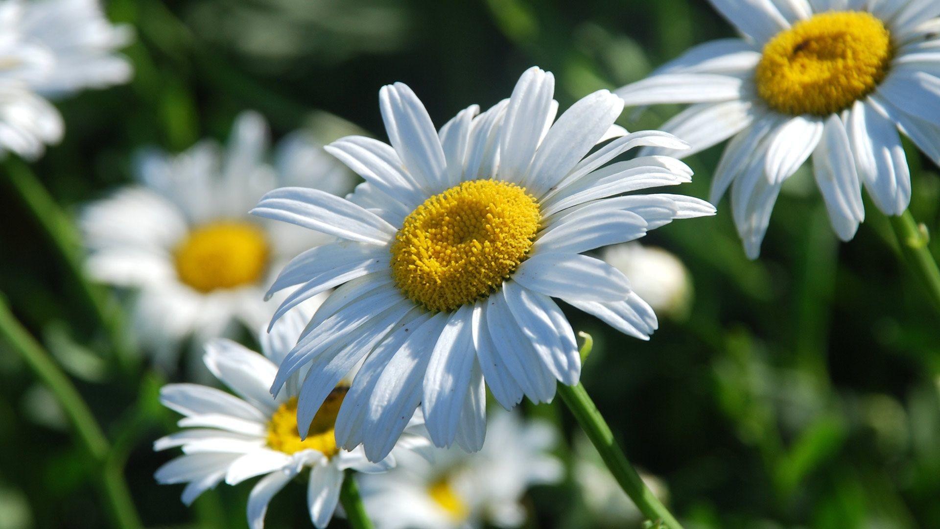 daisy flower wallpaper (57+ images)