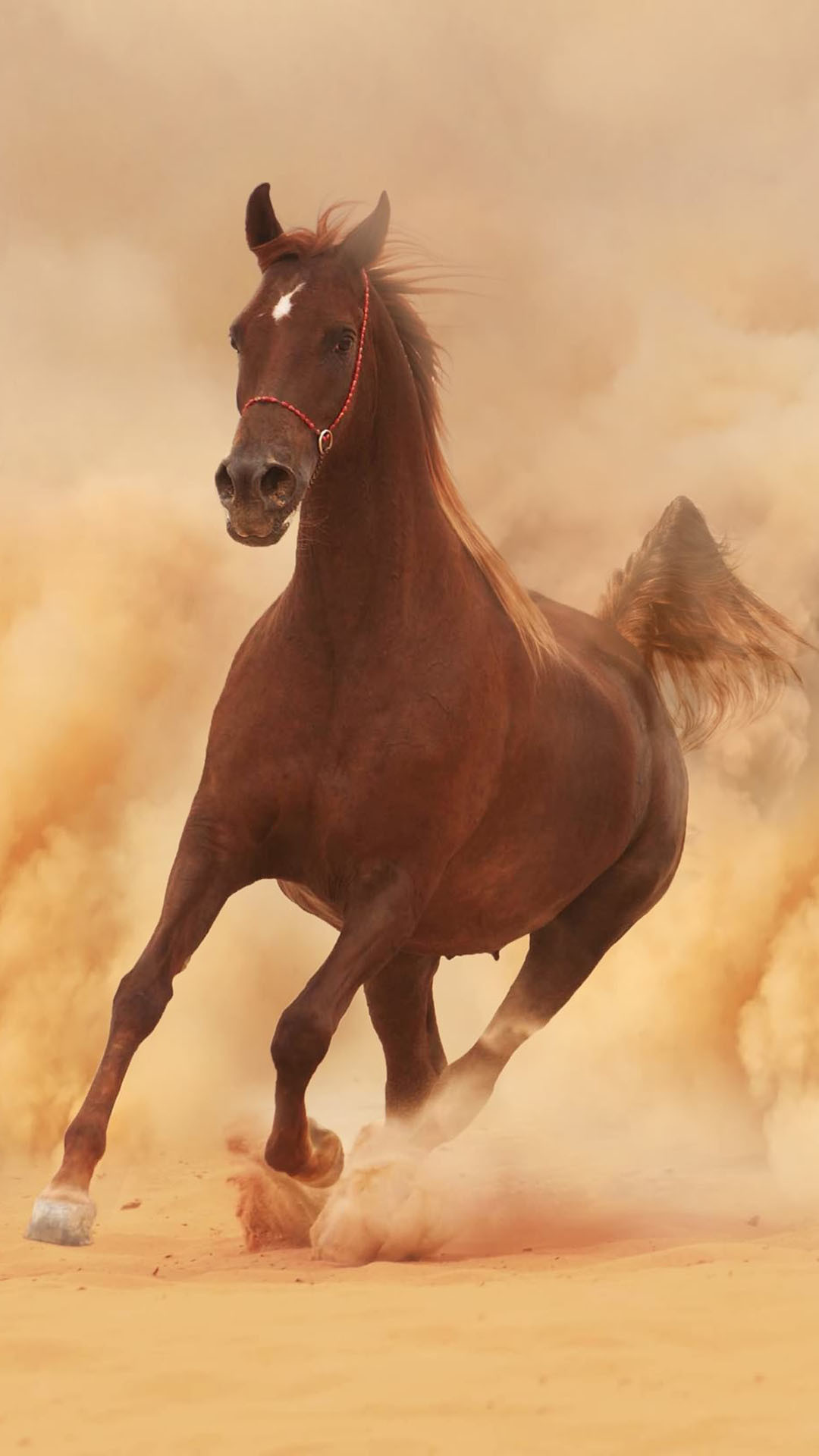Arabian Horse Photo Gallery Wallpaper 53 Images