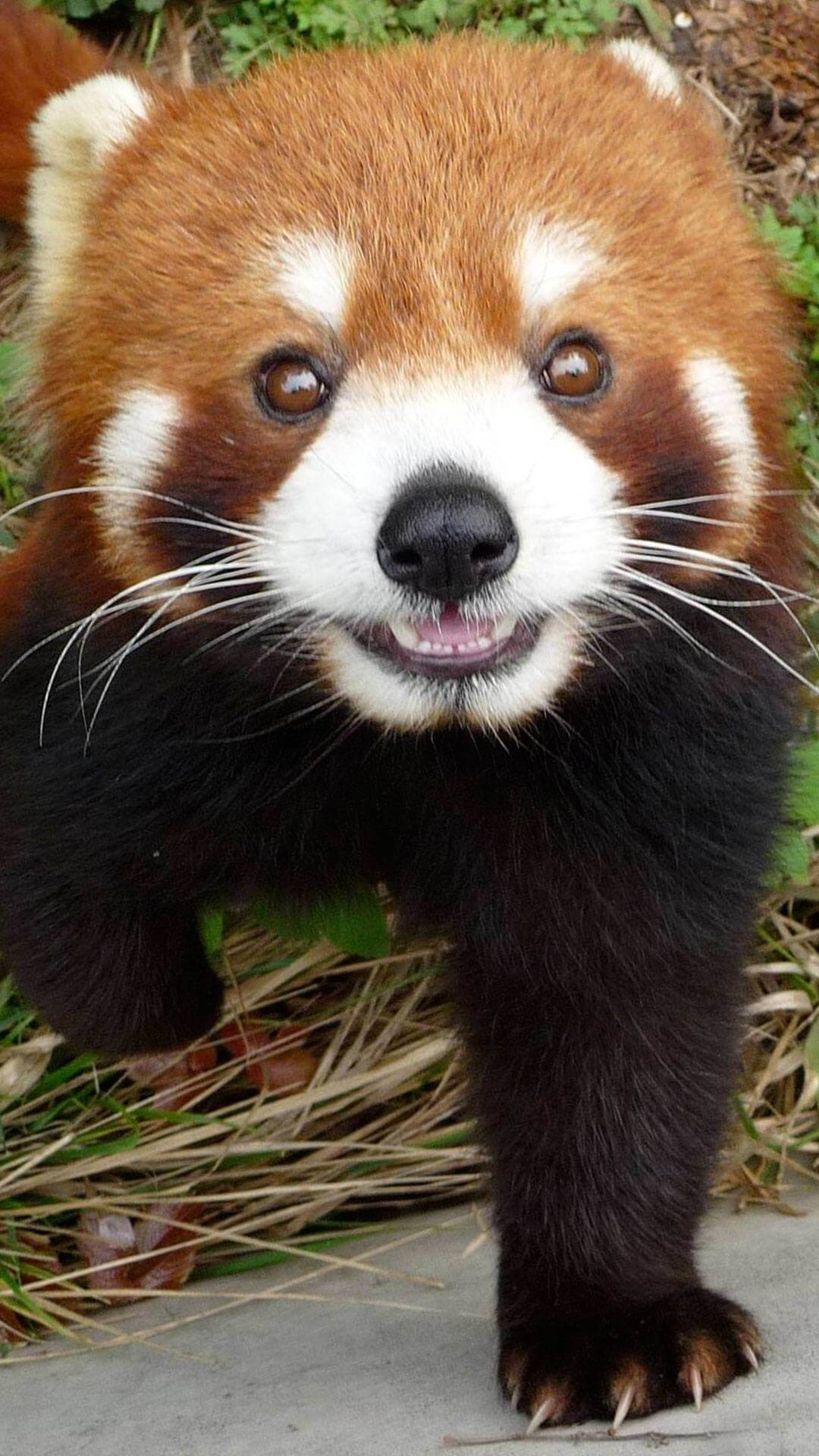 1080x1920 Cute Red Panda Wallpaper iPhone HD