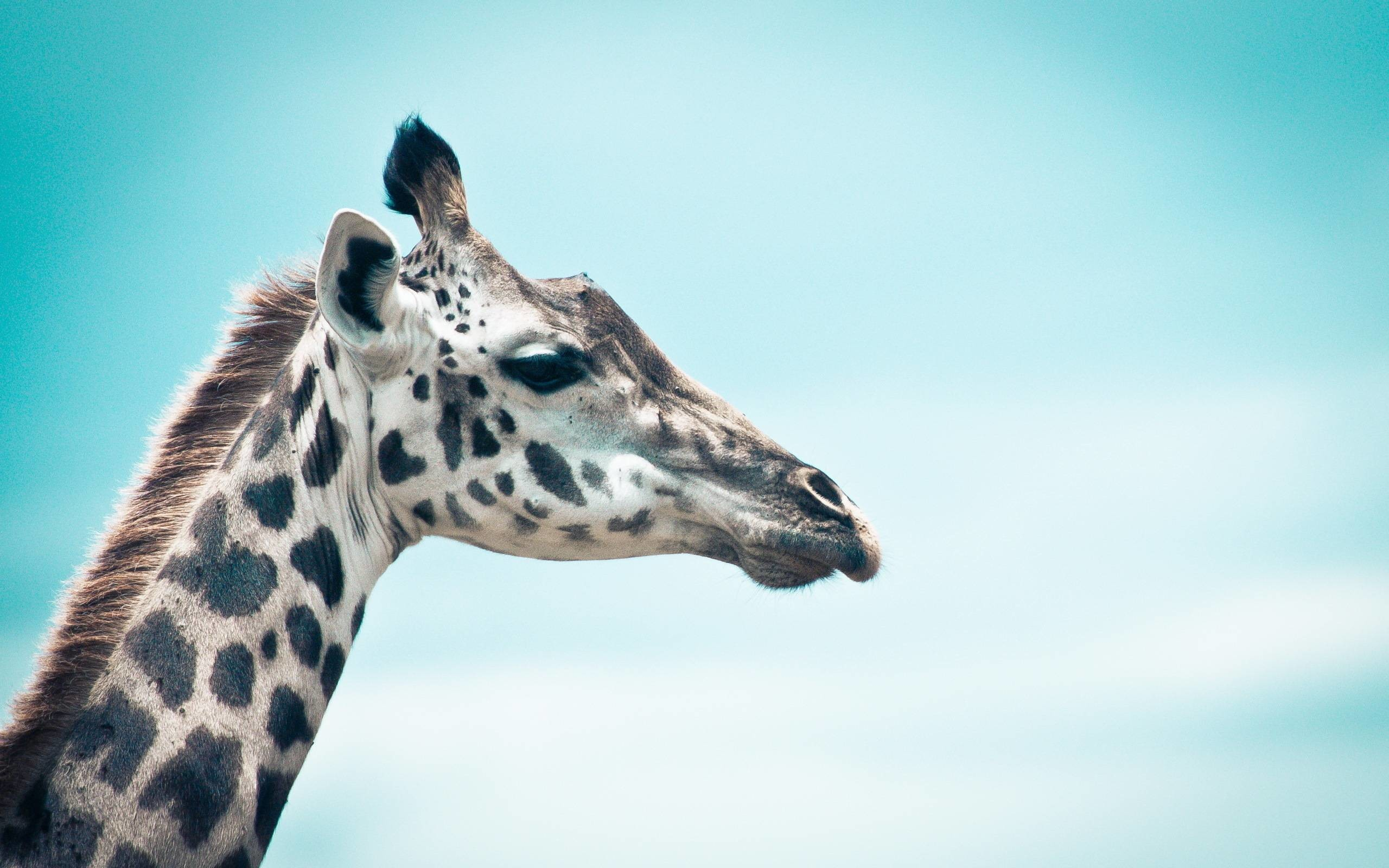 2560x1600 154 Giraffe Wallpapers | Giraffe Backgrounds Page 2