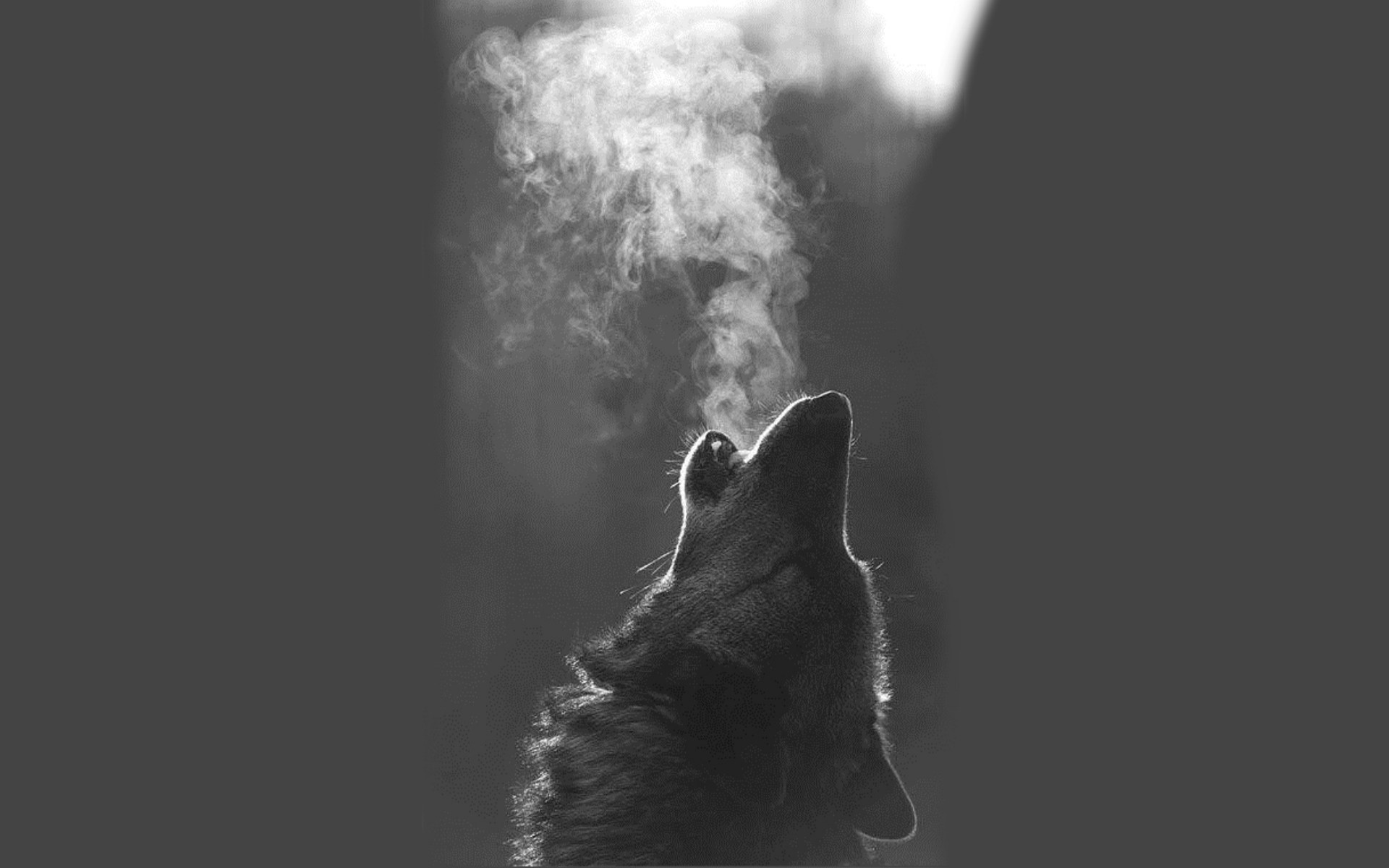 1920x1200 Howling Wolf Wallpaper High Definition