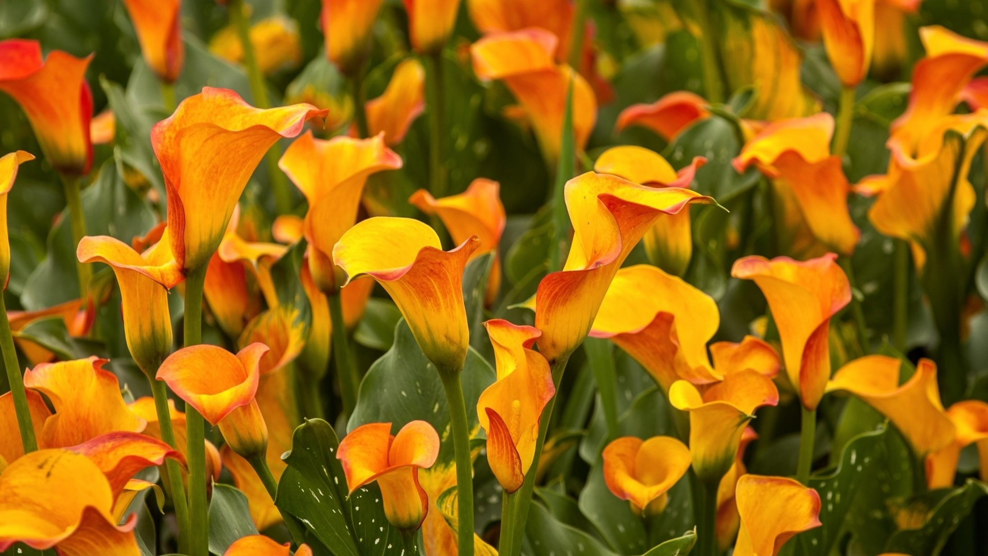 1920x1080 Preview wallpaper calla lilies, flowers, bright, close-up, flowerbed