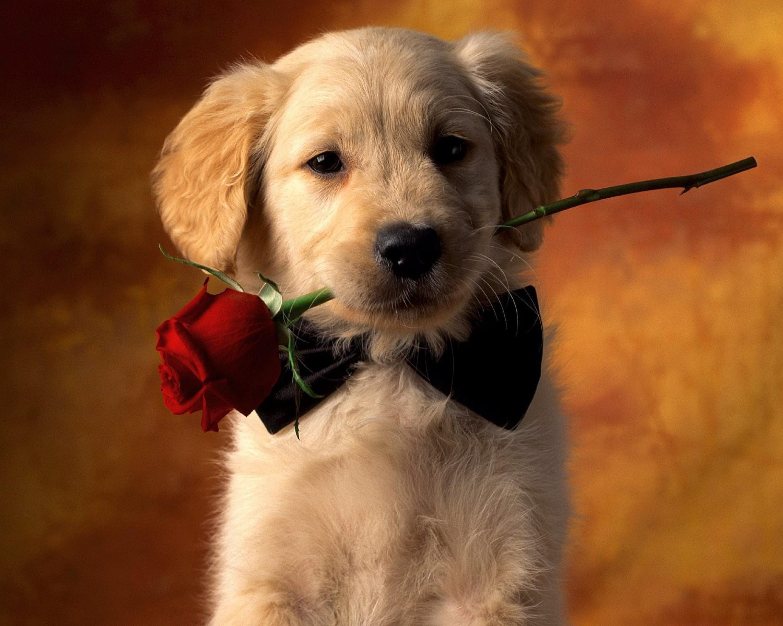 2560x2048 Animal   Dog Red Rose Rose Puppy Pet Animal Cute Wallpaper