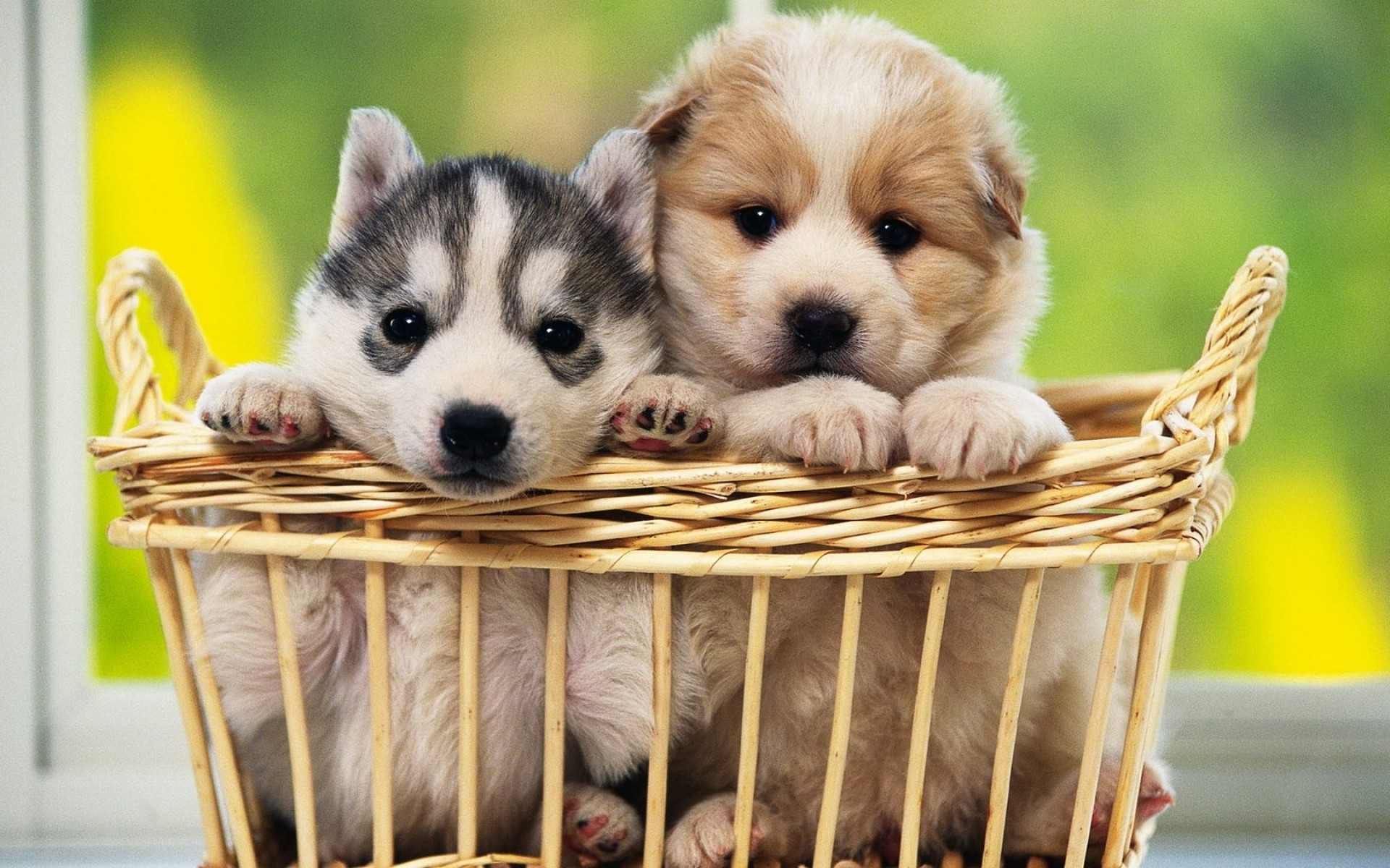 1920x1200 Cute Pair of Puppies Background