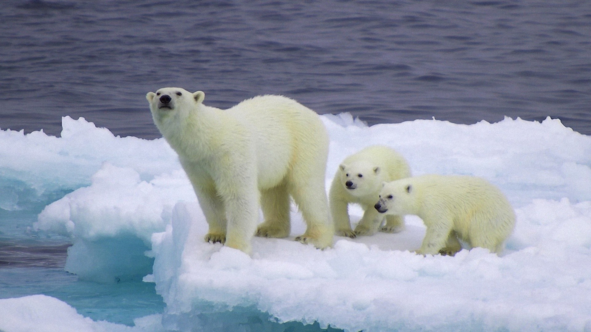 1920x1080 And Cubs On Iceberg  wallpaper1920X1080 wallpaper screensaver .