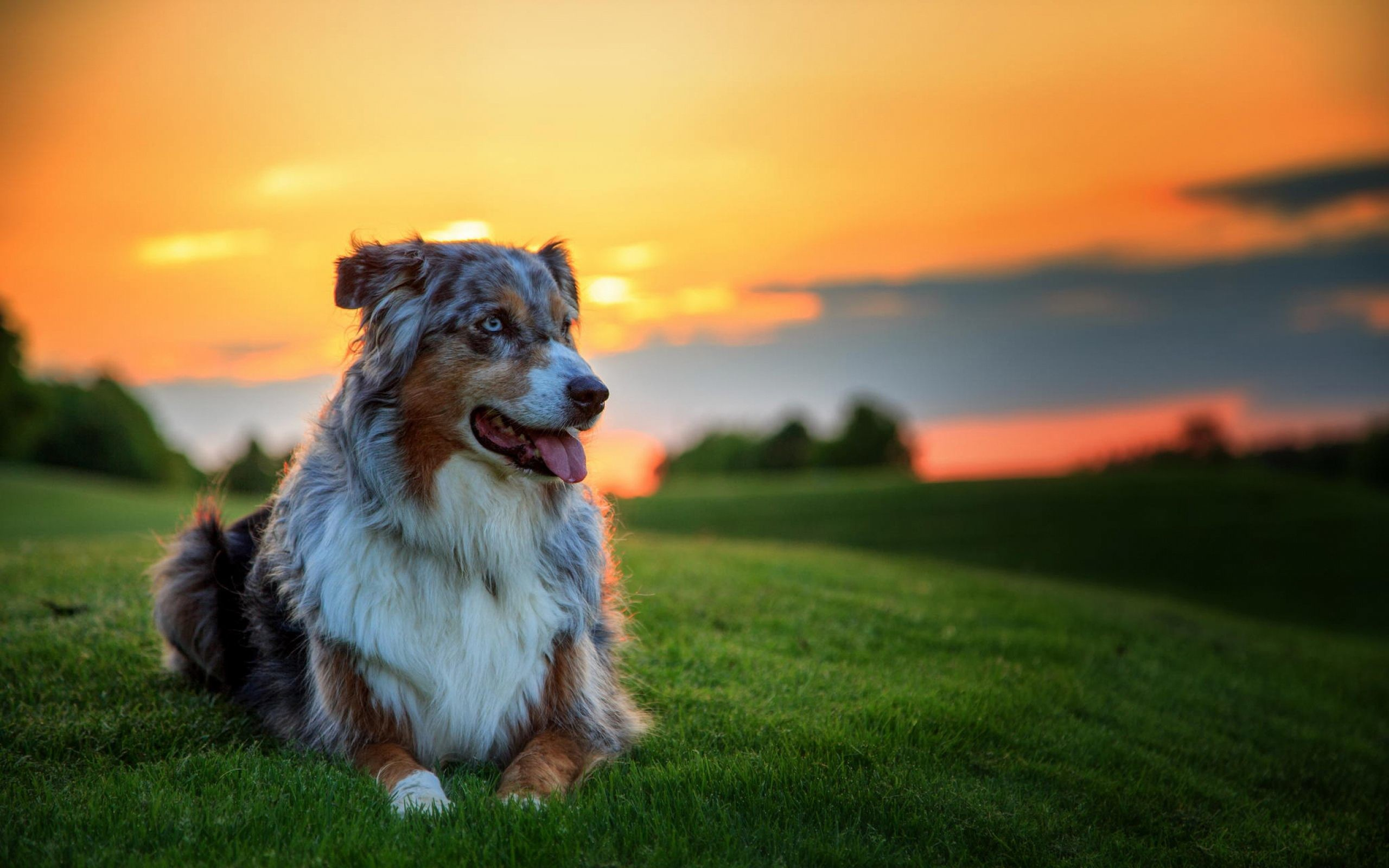 2560x1600 ... 50 Free HD Dog Wallpapers ...