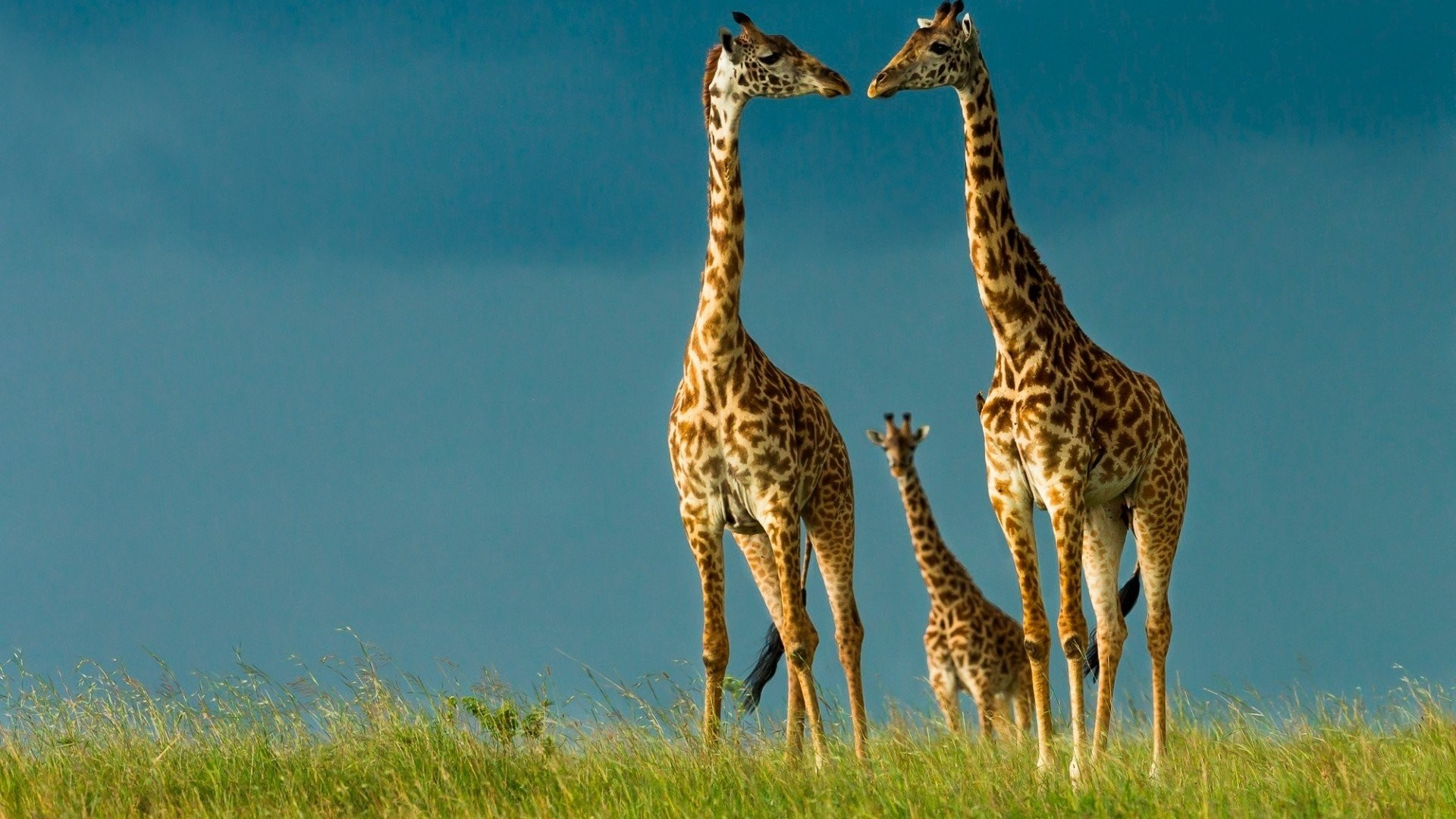 1920x1080 Beauty cute amazing animal Animal Giraffe Family wallpaper |  |  893744 | WallpaperUP