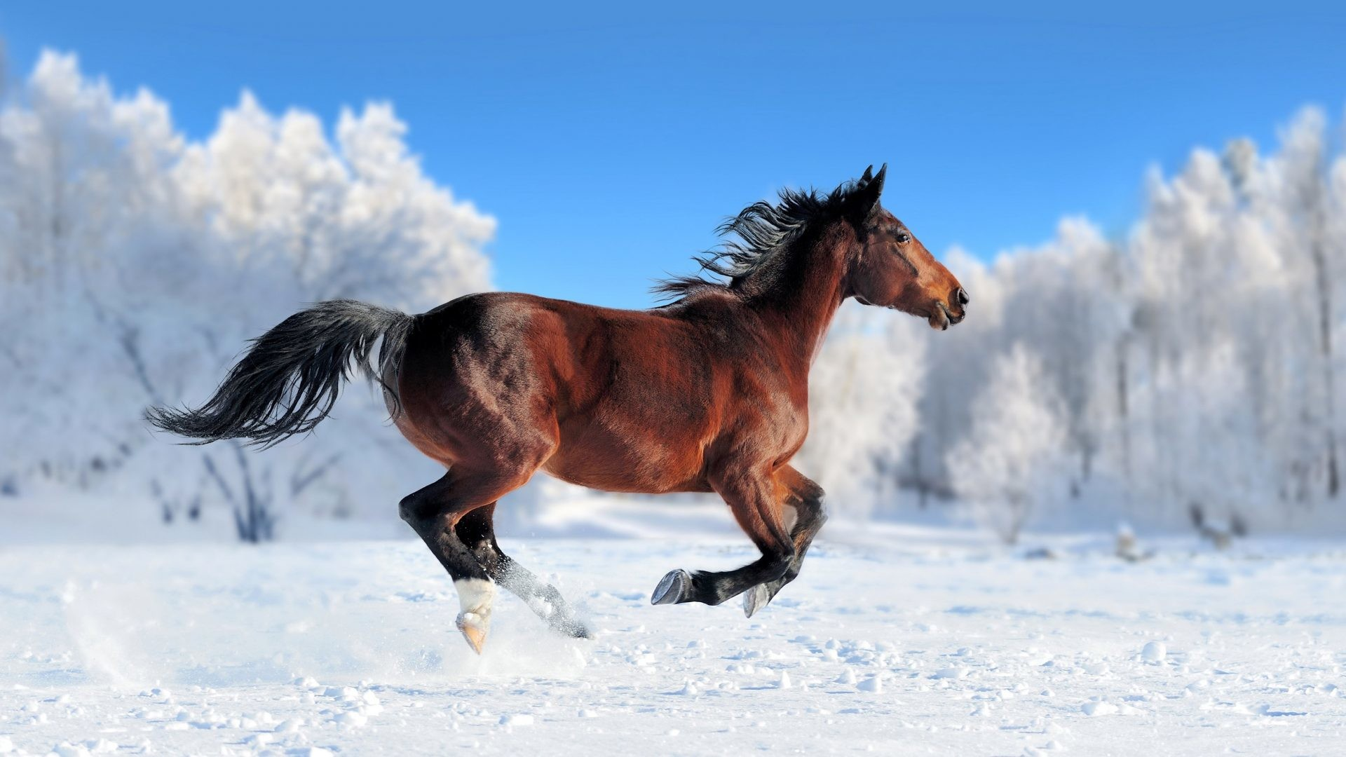 1920x1080 Run Tag - Animals Run Snow Horses Cool Animal Background Pictures for HD  16:9