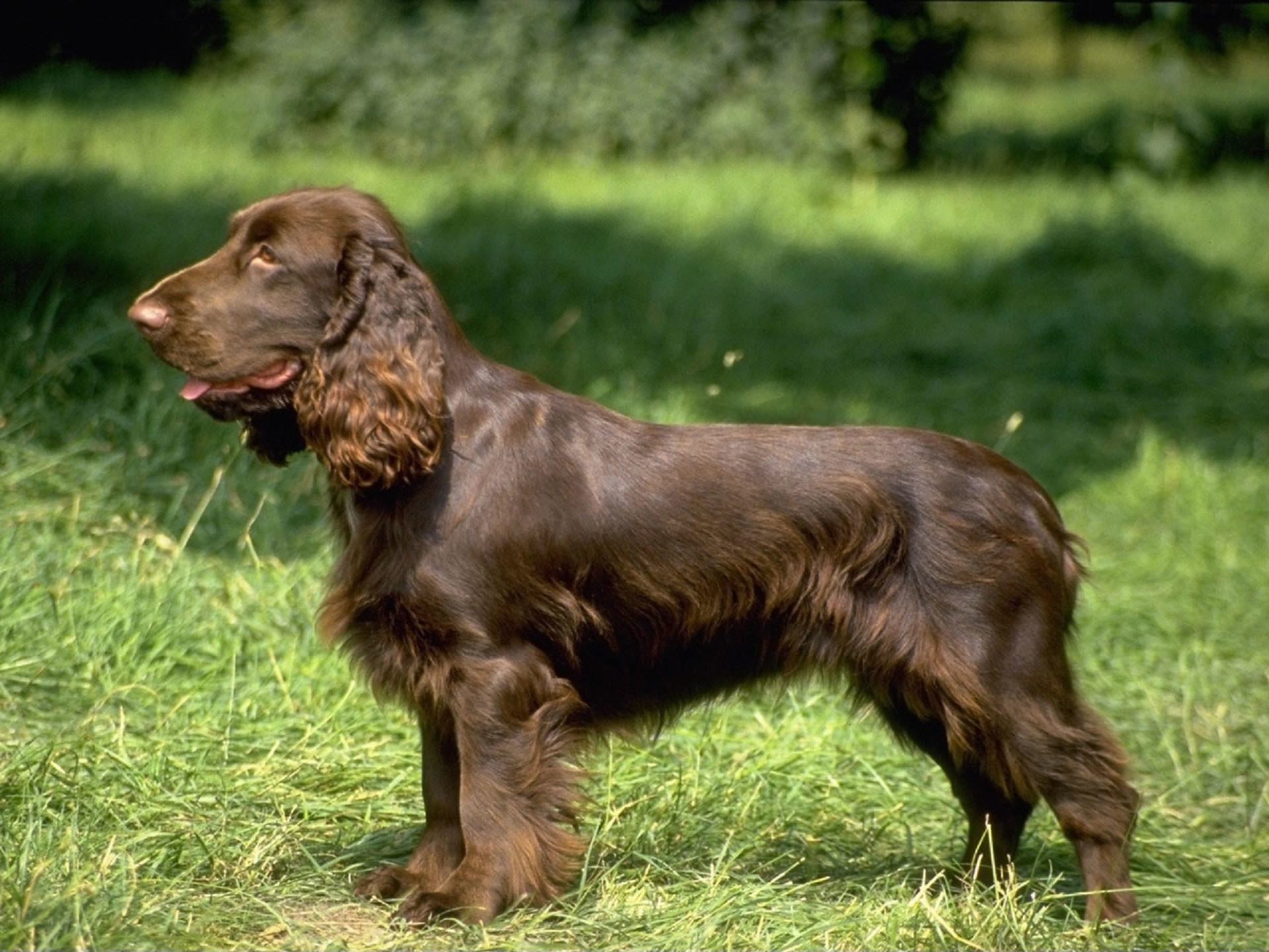 1920x1440 Field English Cocker Spaniel