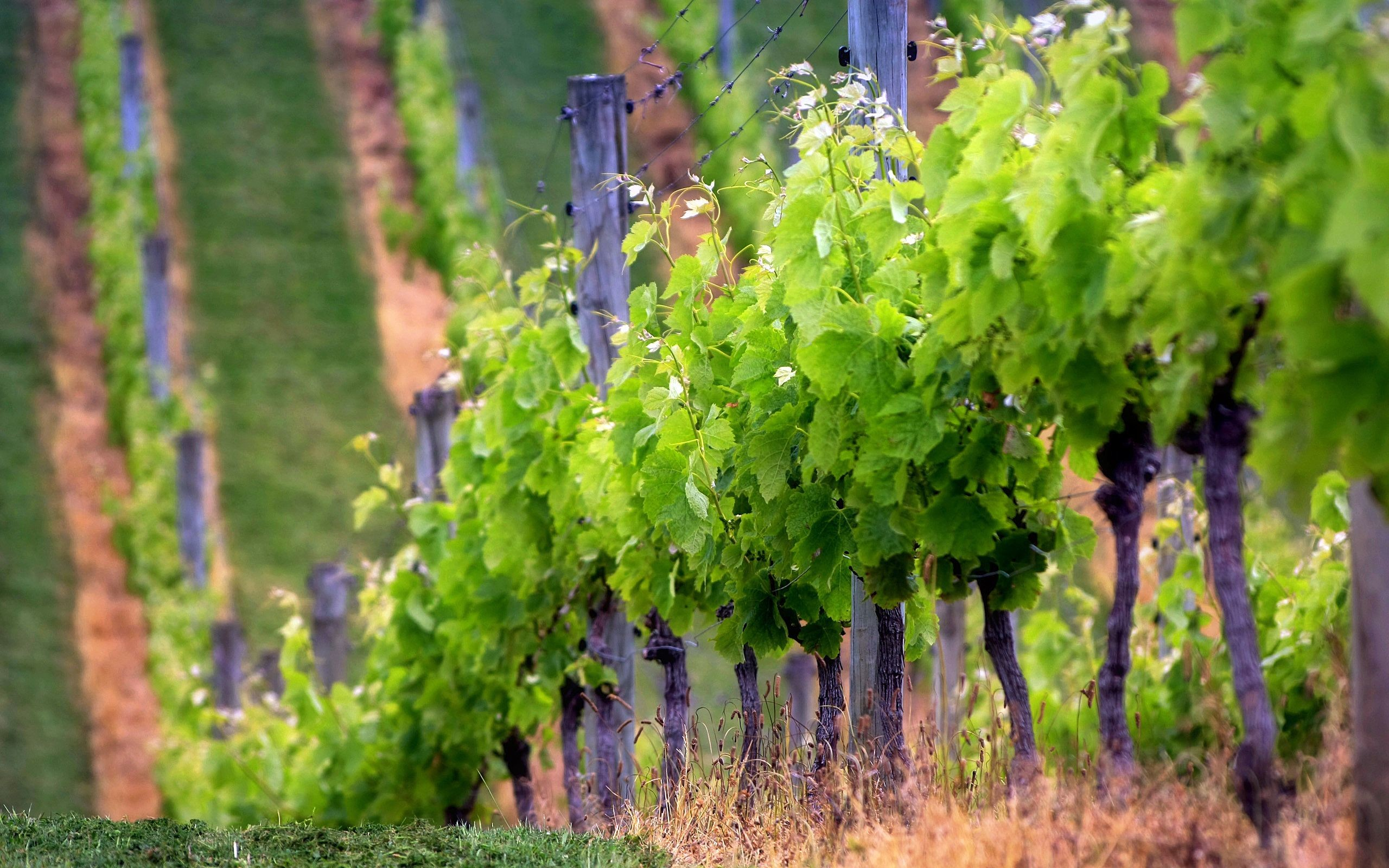 2560x1600 Best Vineyard Wallpaper Background Wallpaper