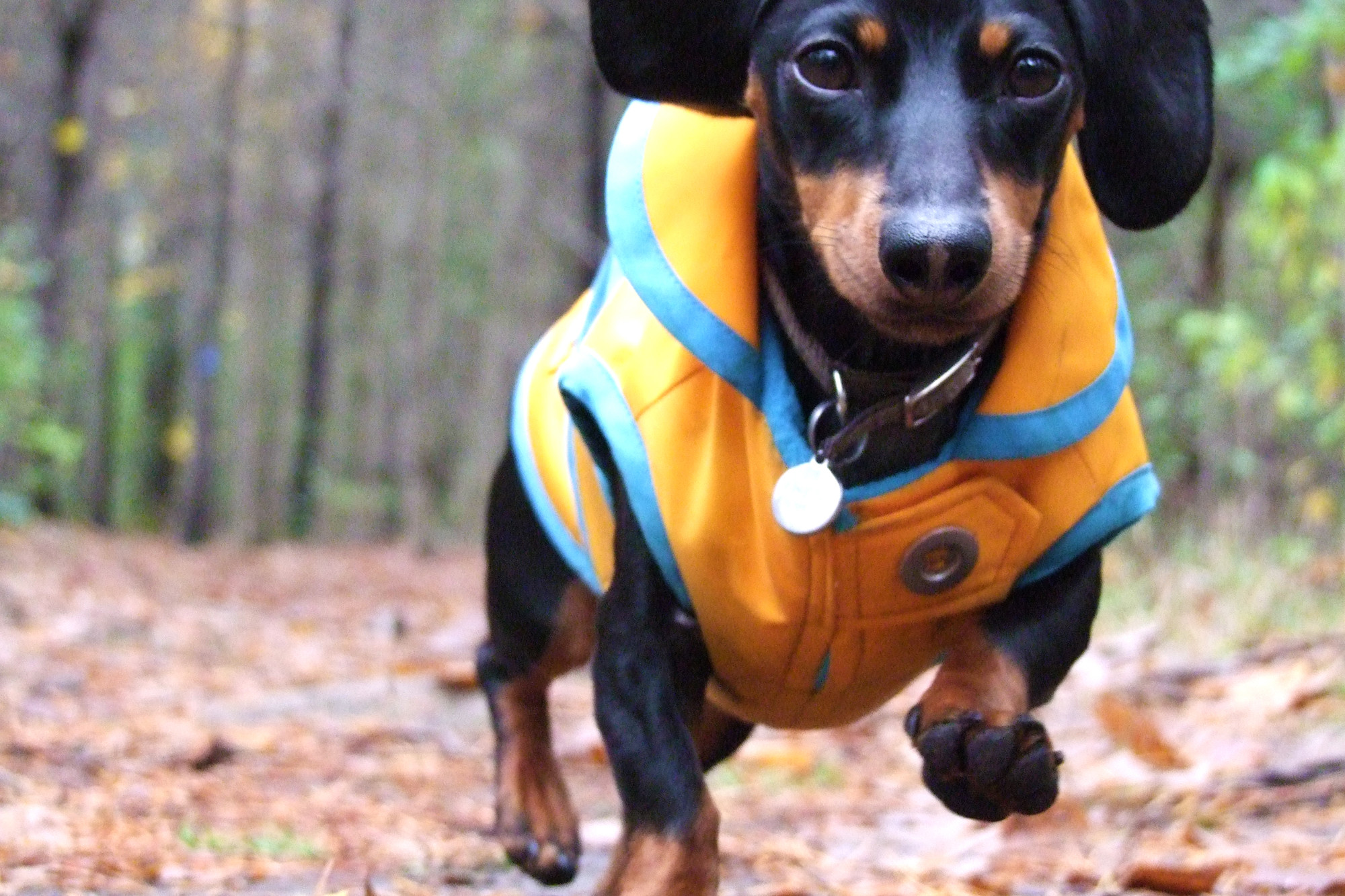 2000x1333 Running Dachshund dog photo