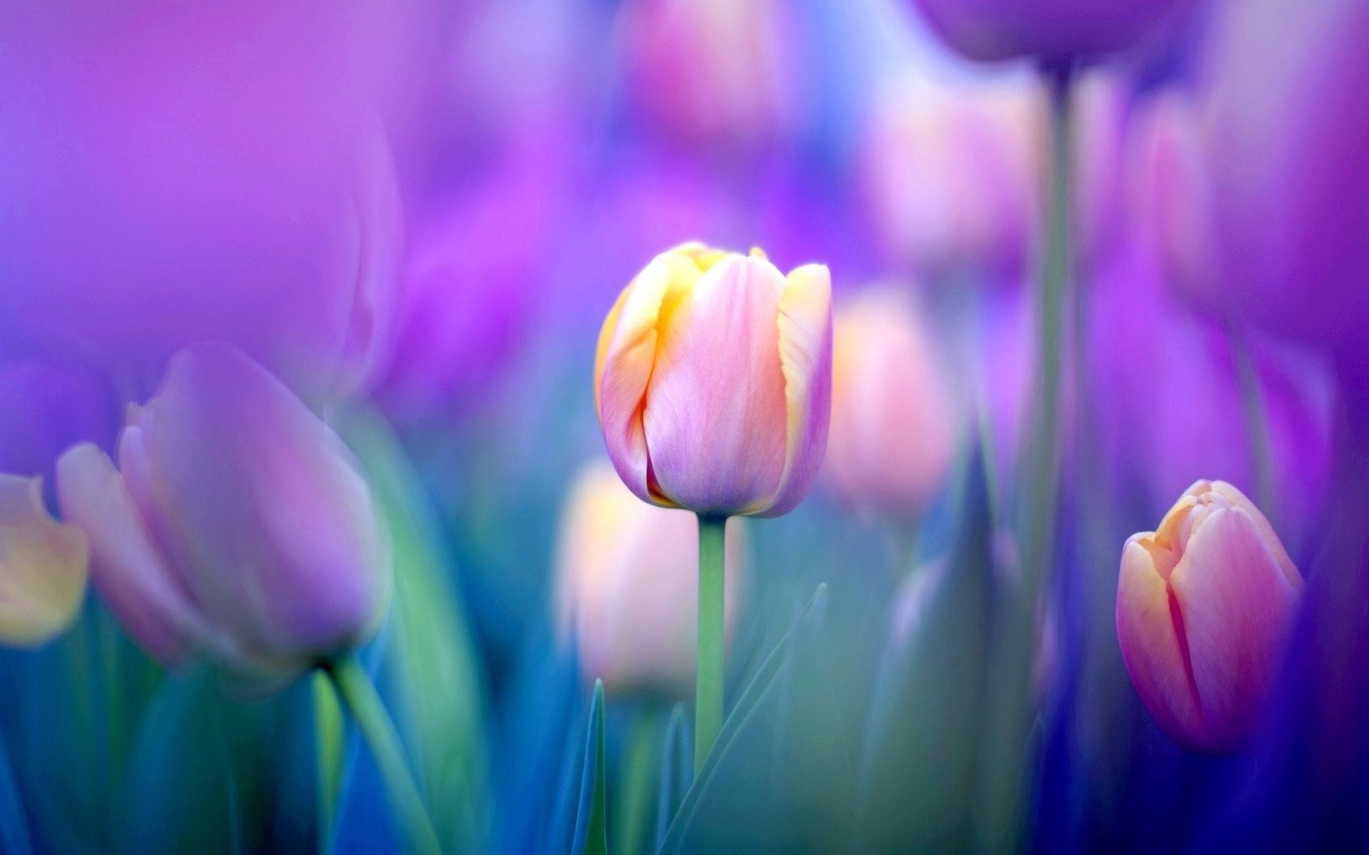 1920x1200 HD Wallpaper | Background ID:470134.  Earth Tulip