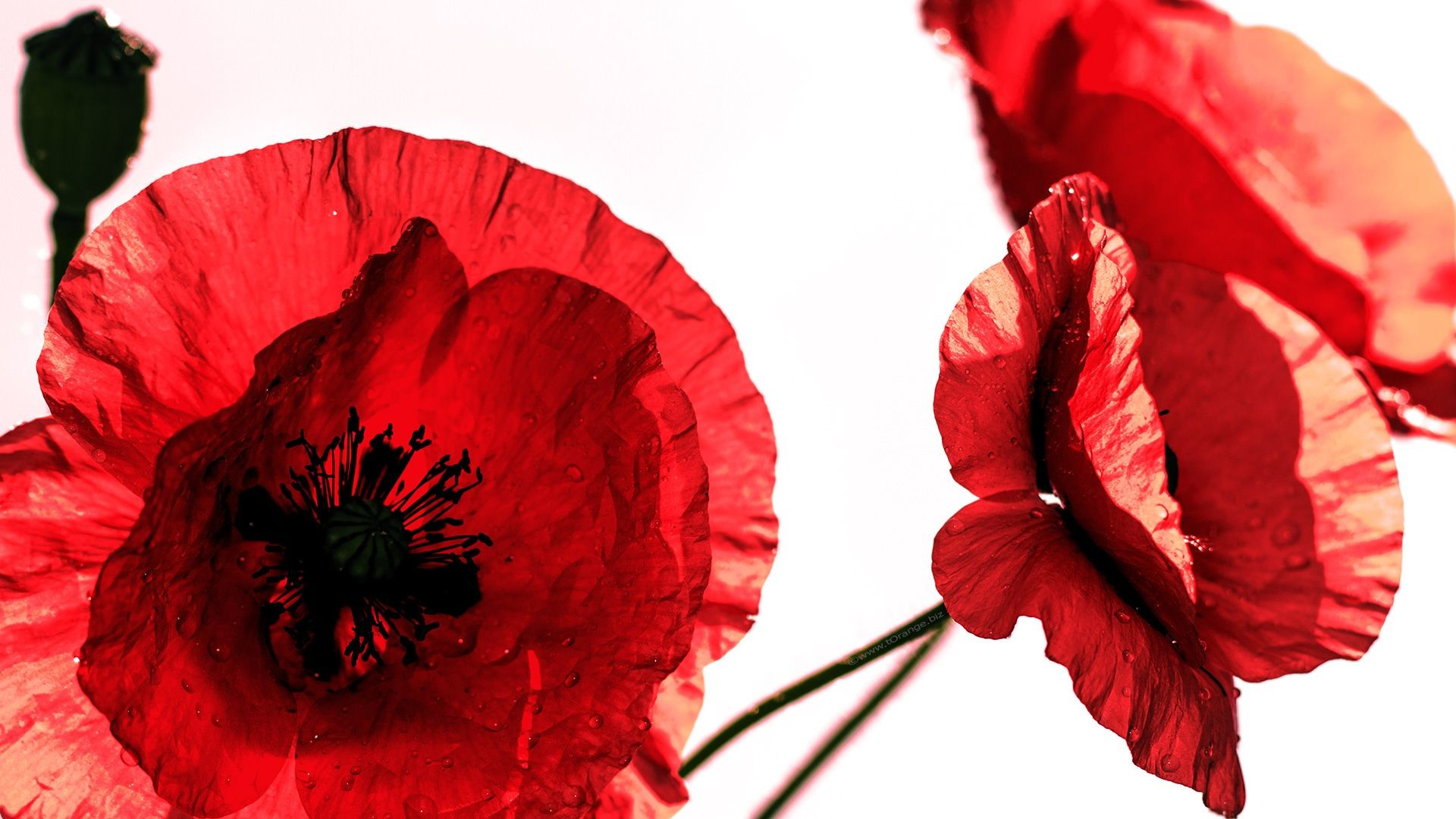 1920x1080 red poppies flower  Desktop Wallpapers for Widescreen #Free # desktop #backgrounds #pictures #flowers #poppies #HD #