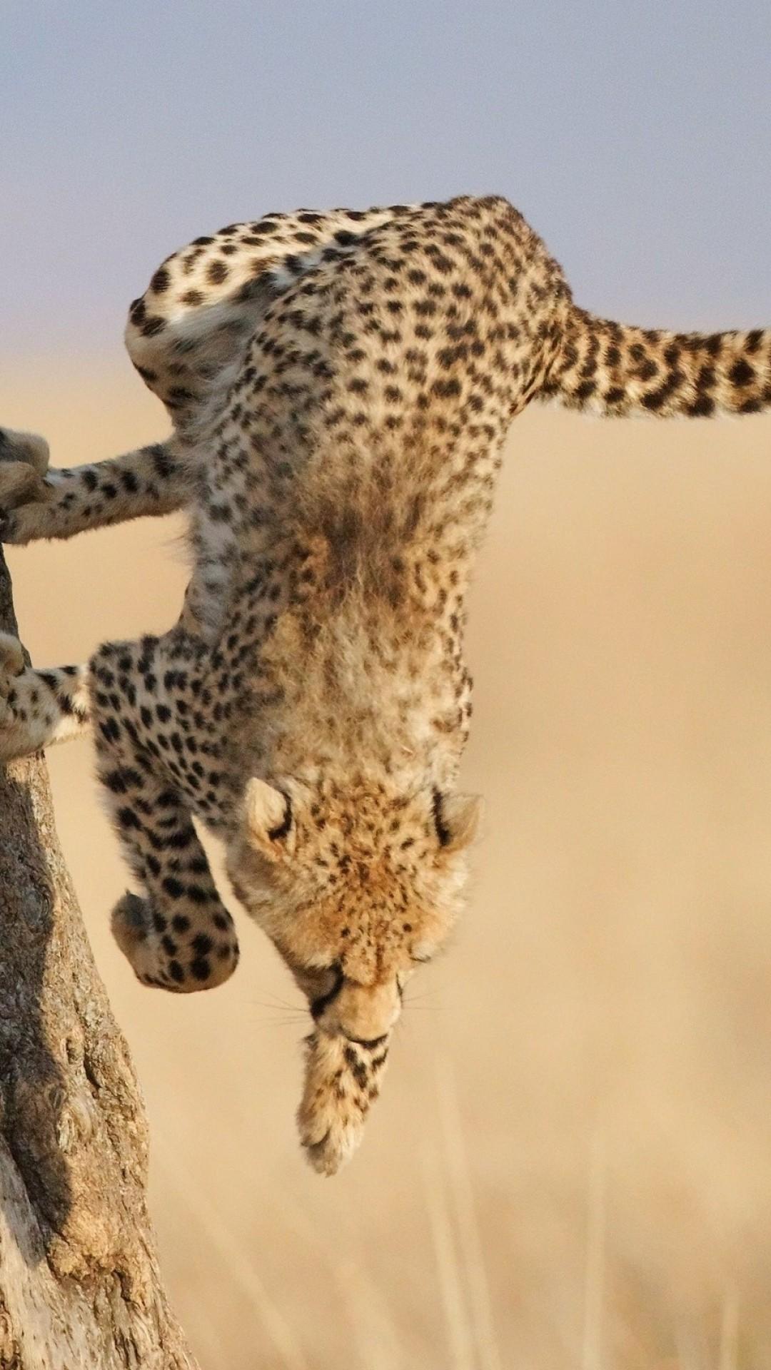 Cheetah background 68 images 1920x1080 1920x1080 running cheetah wallpaper voltagebd Choice Image