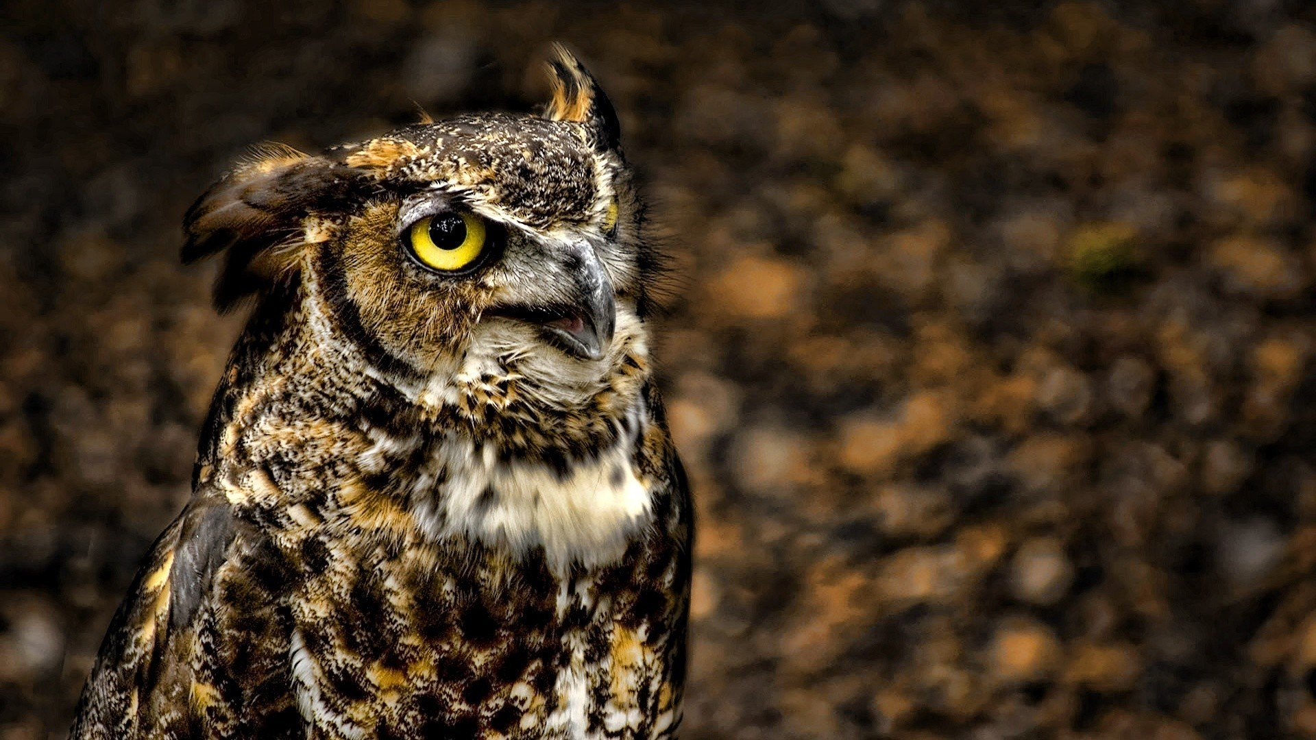 1920x1080 Animal - Great horned owl Wallpaper