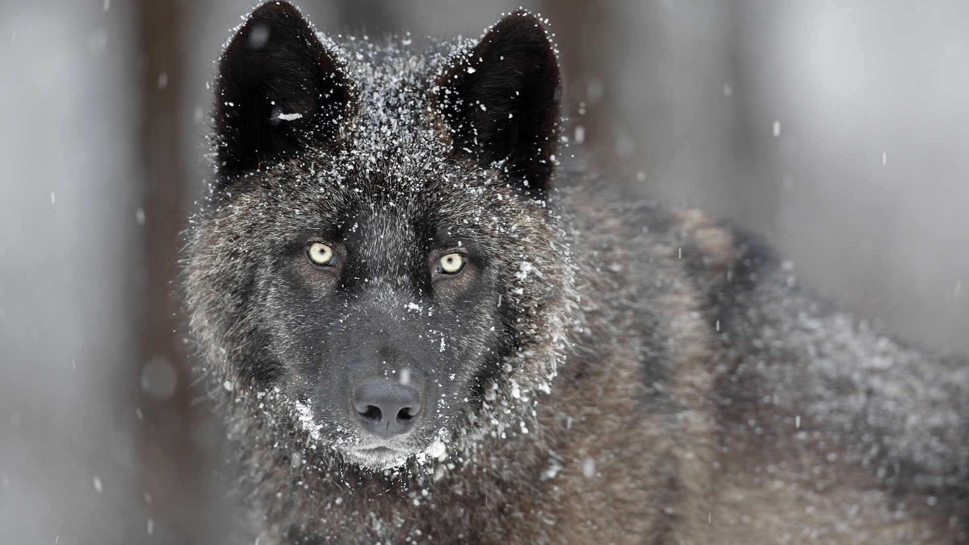 1920x1080 awesome-gray-wolf-wallpaper-Img
