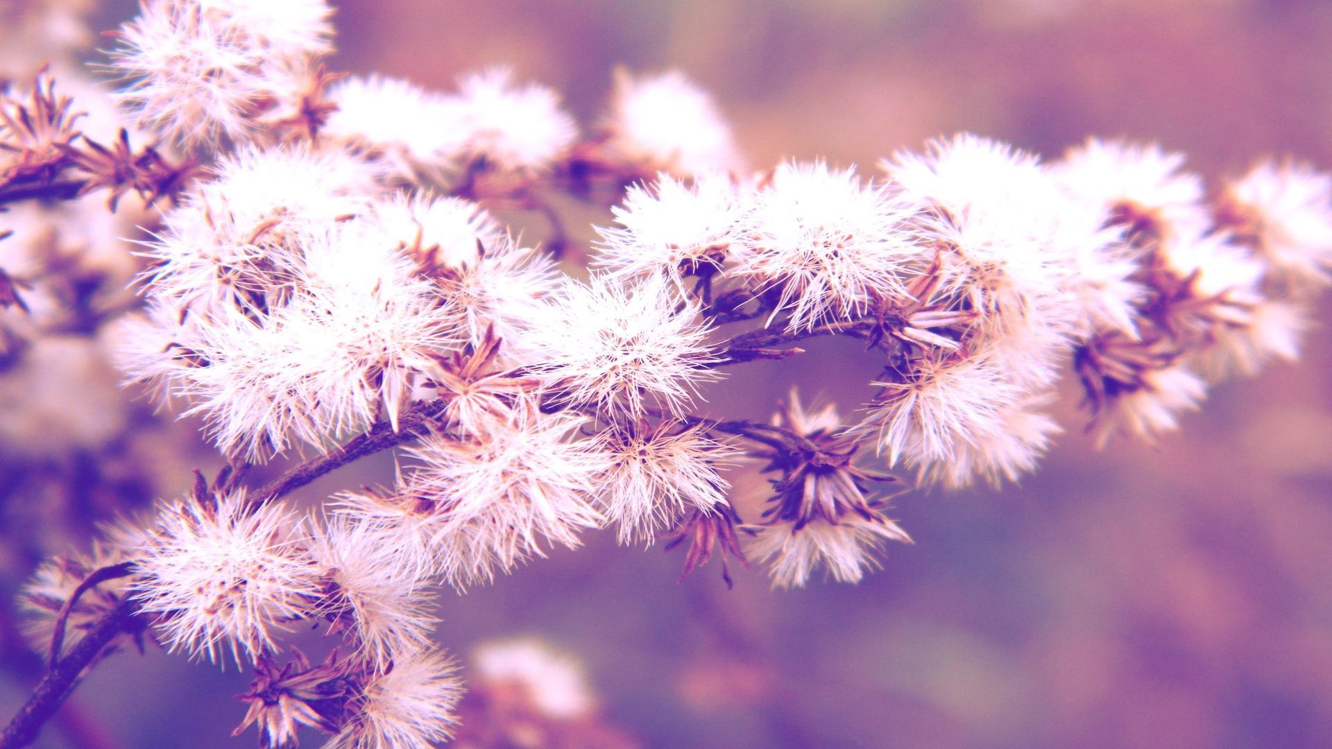 Dandelion background 60 images - Dandelion hd wallpapers 1080p ...
