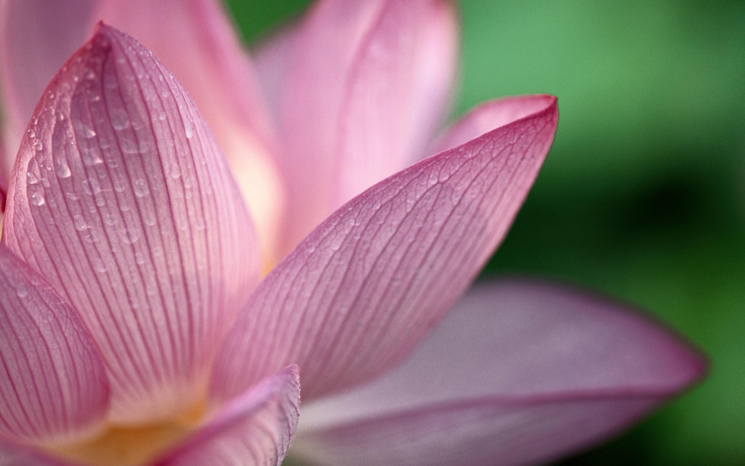 lotus flower background wallpaper 65 images