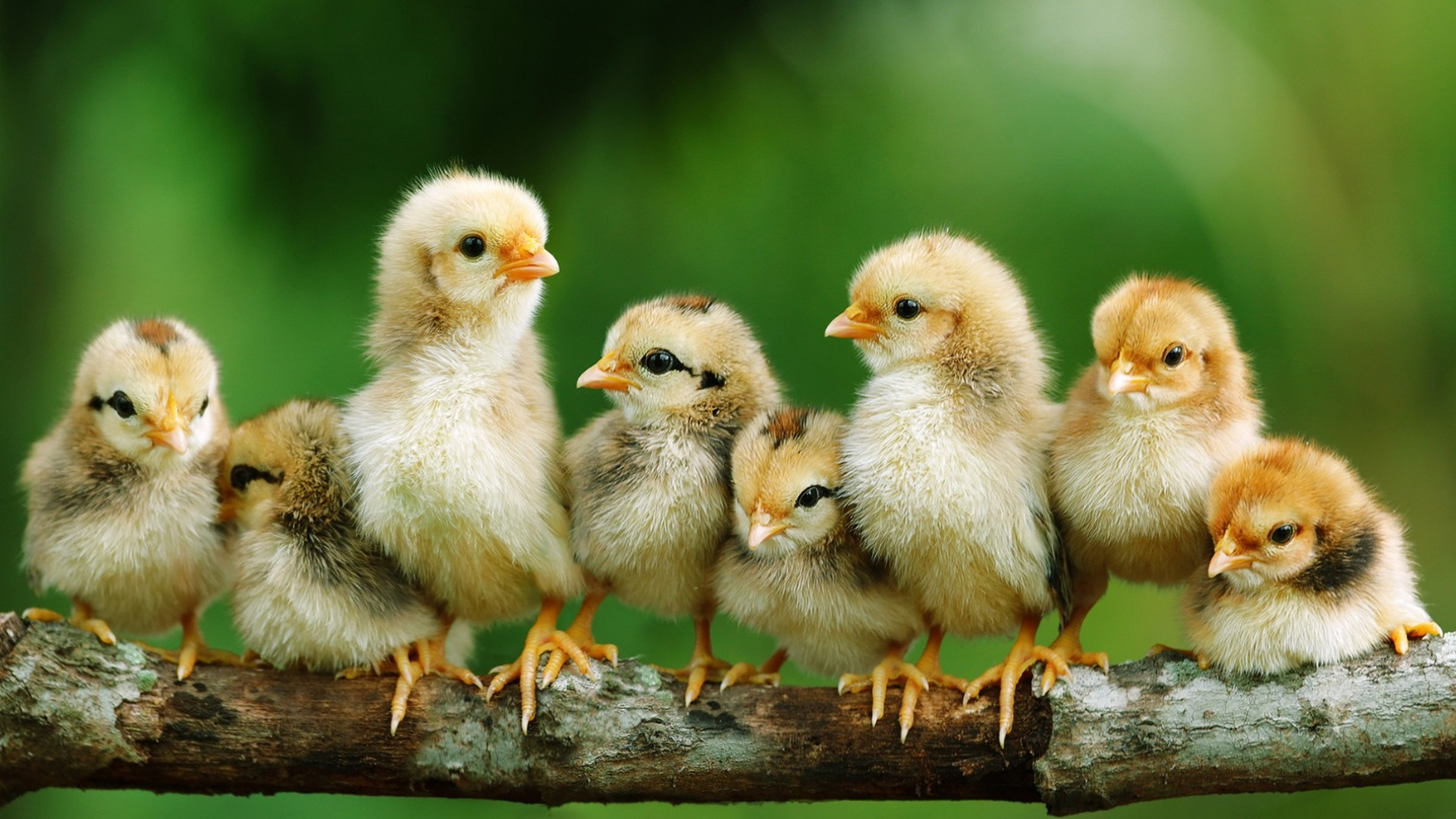 Baby Chicks Wallpaper 59 Images