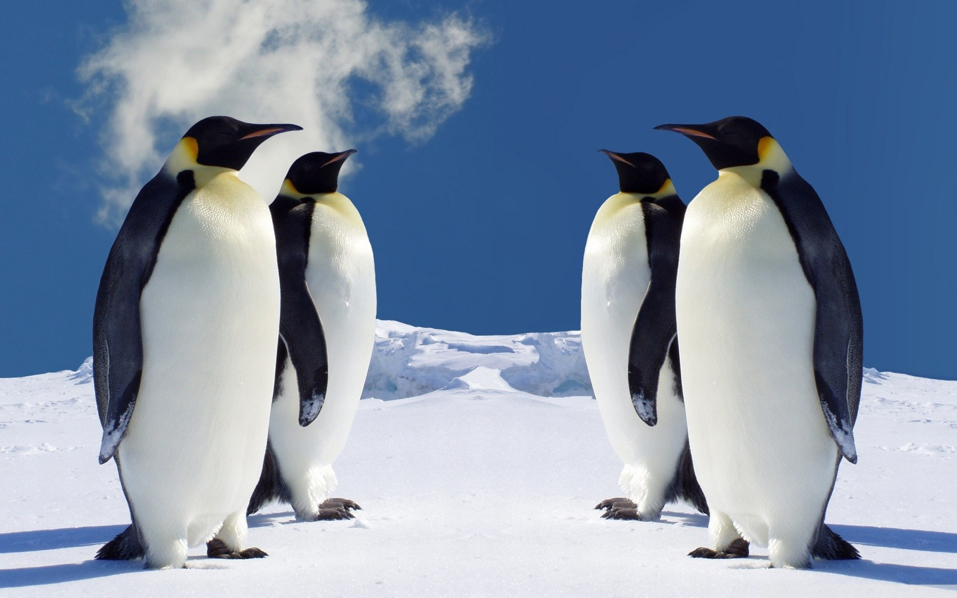 1920x1200 King Penguins