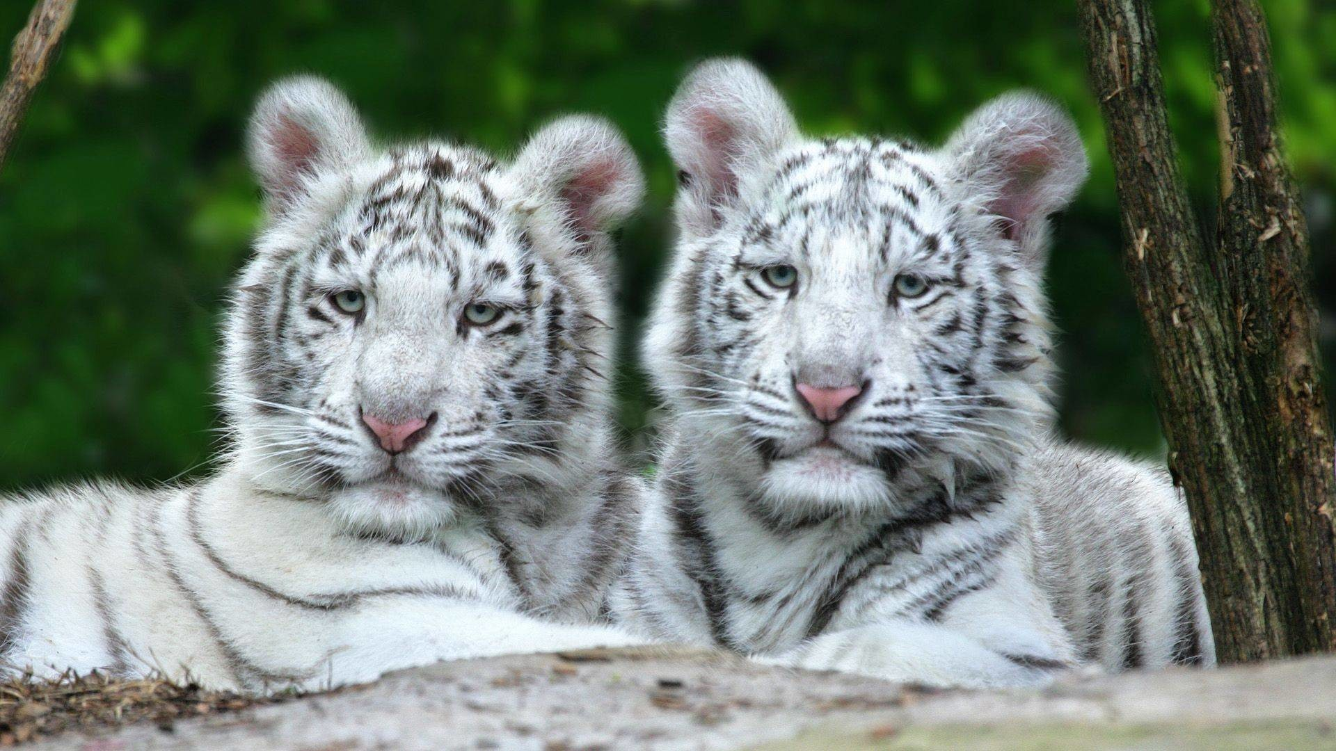 1920x1080 pin Drawn white tiger lion cub #14