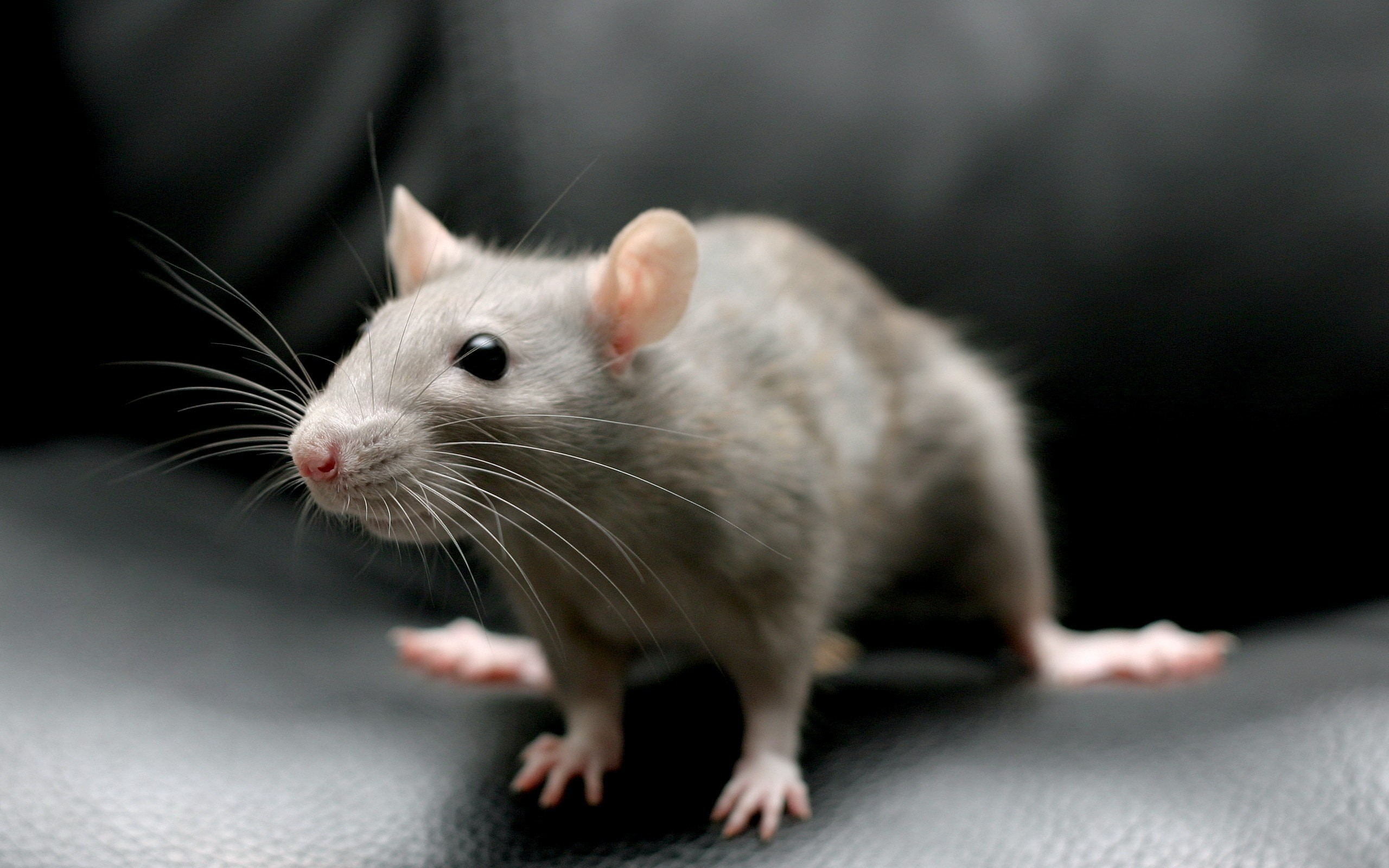2560x1600 Rat HD pictures Rat full hd wallpapers