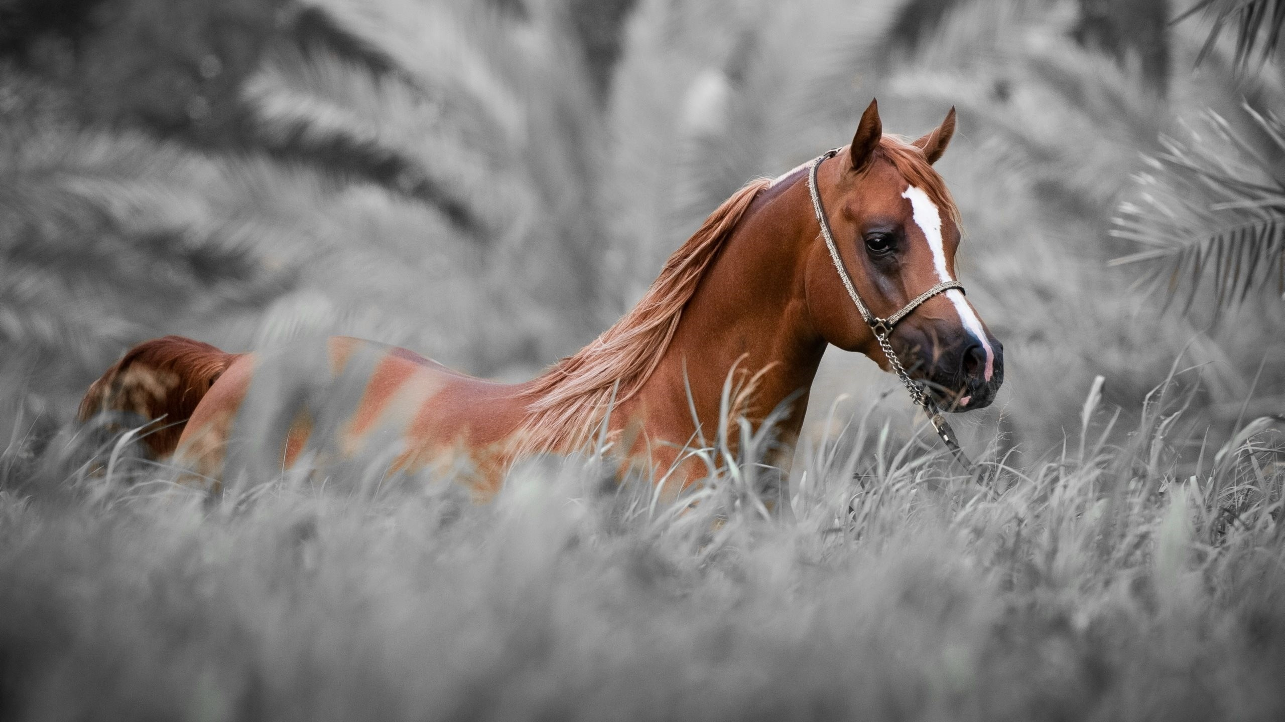 Arabian horse wallpaper 55 images - Arabian horse pictures ...