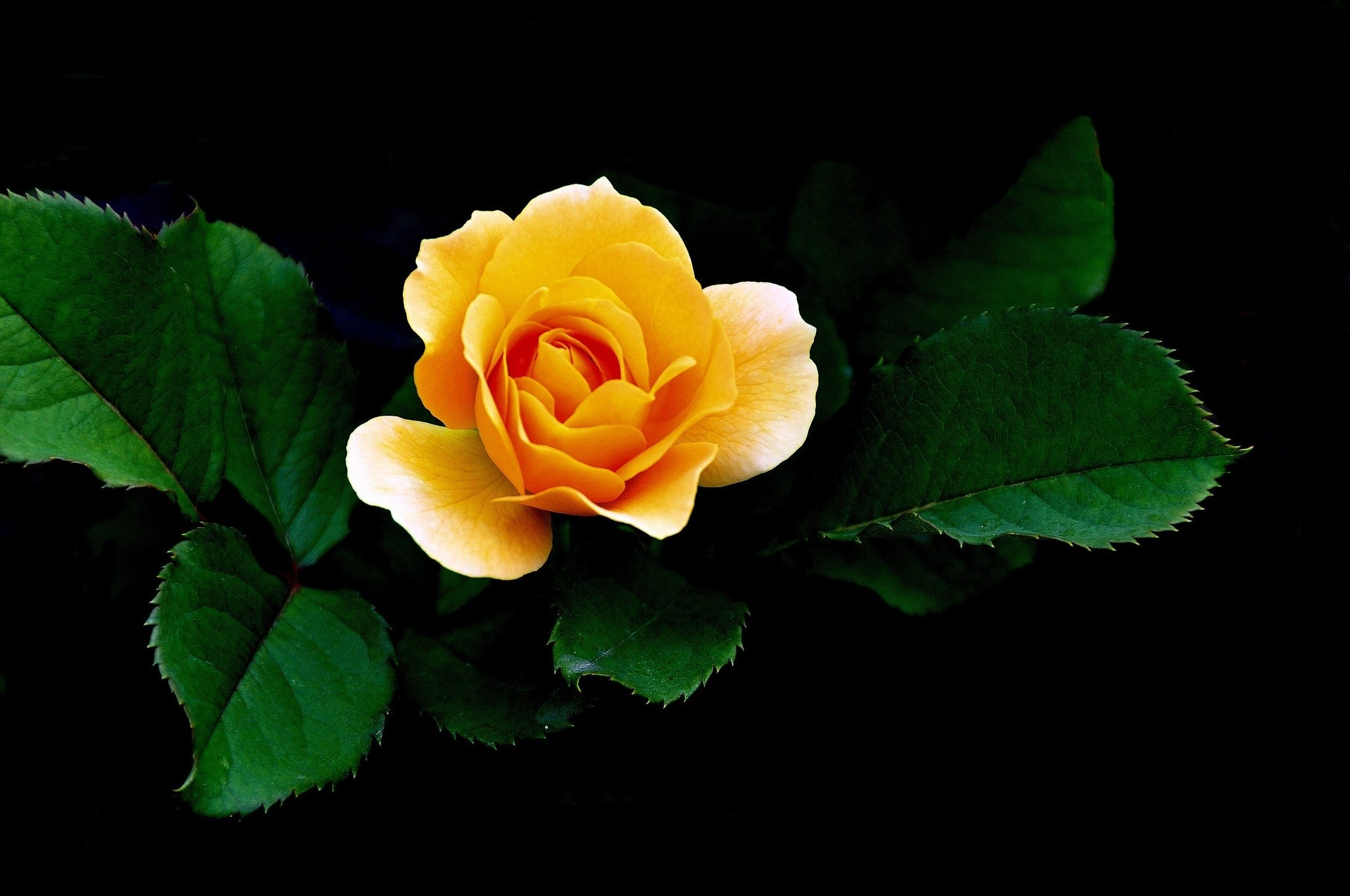 Yellow Roses Wallpaper 67 Images