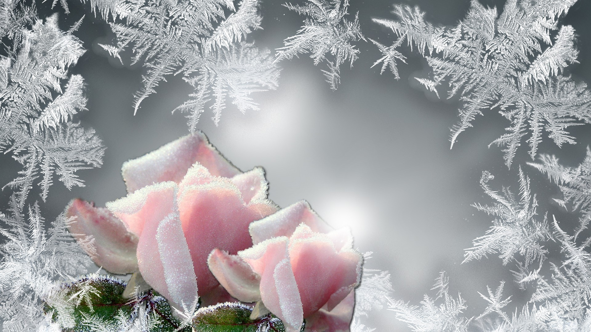 Freeze wallpapers and screensavers 67 images - Rose in snow wallpaper ...