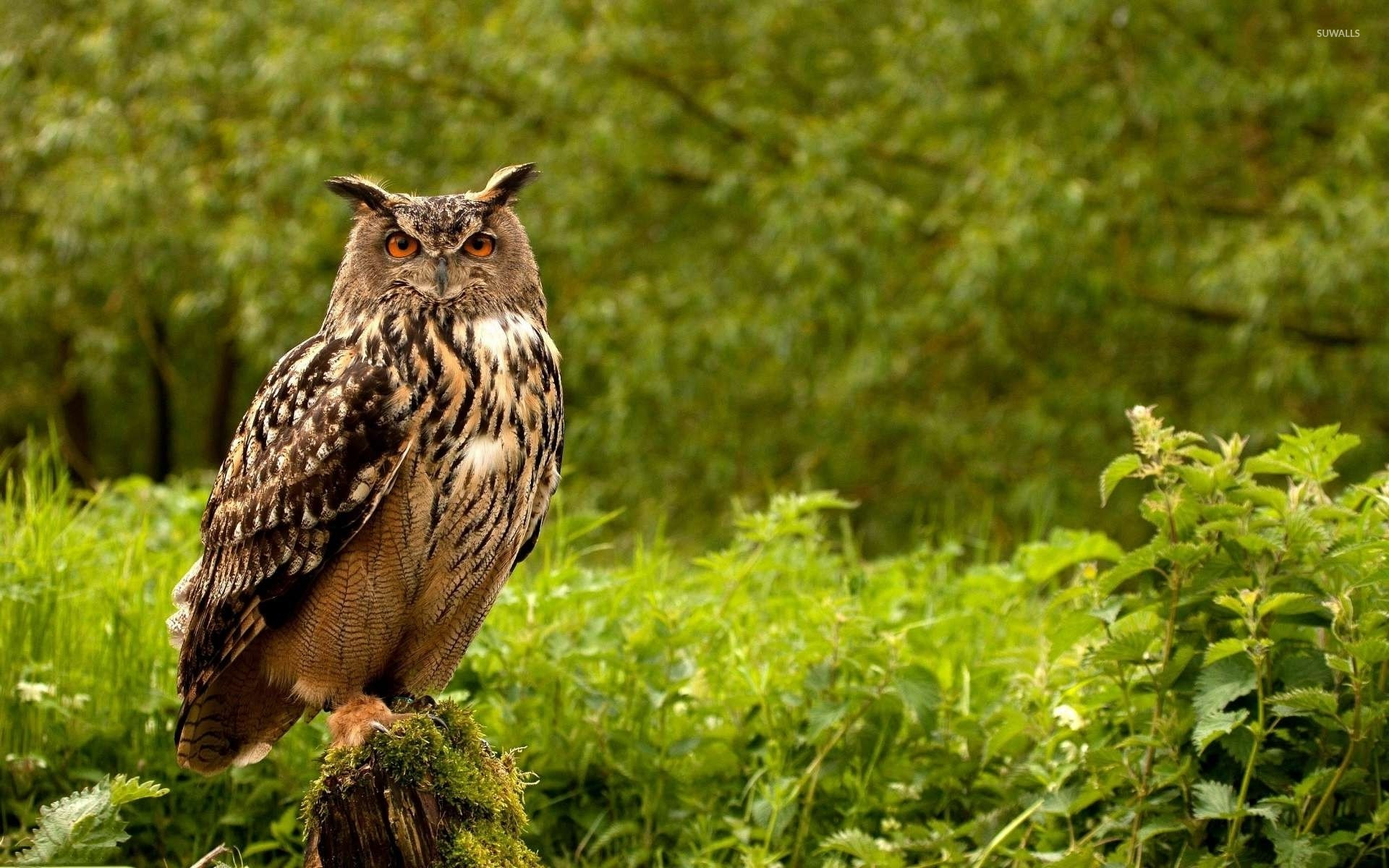 1920x1200 Eurasian Eagle Owl wallpaper