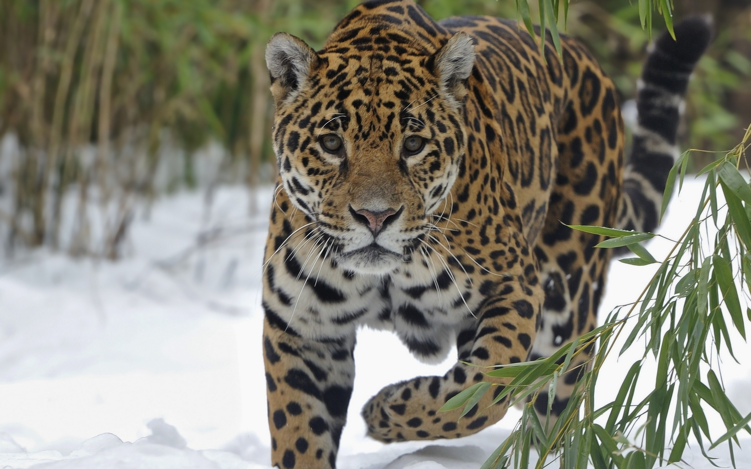 2560x1600 Tiere - Jaguar Wallpaper