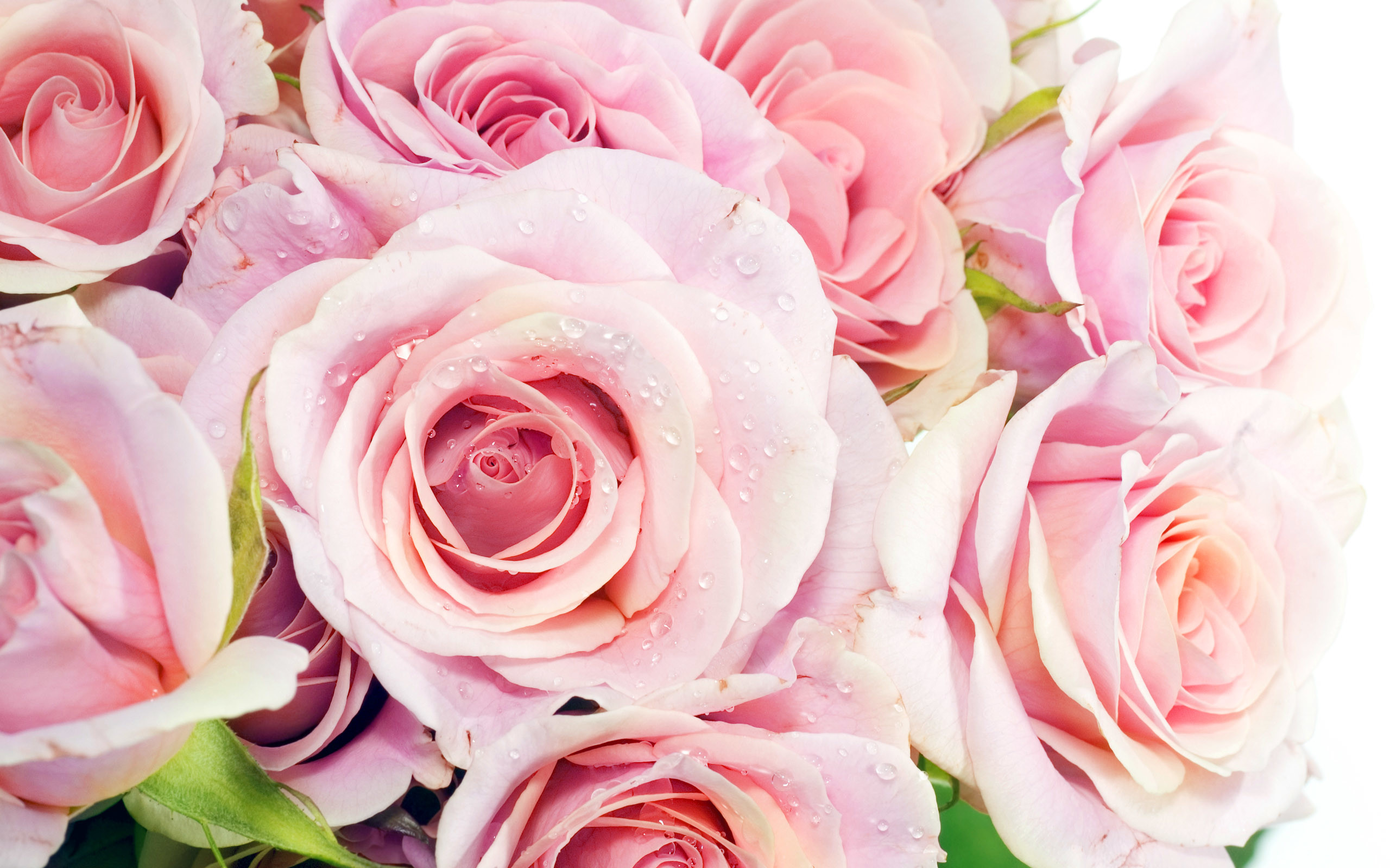 2560x1600 HD Wallpaper and background photos of Pretty Pink Roses Wallpaper for fans  of Pink (Color) images.