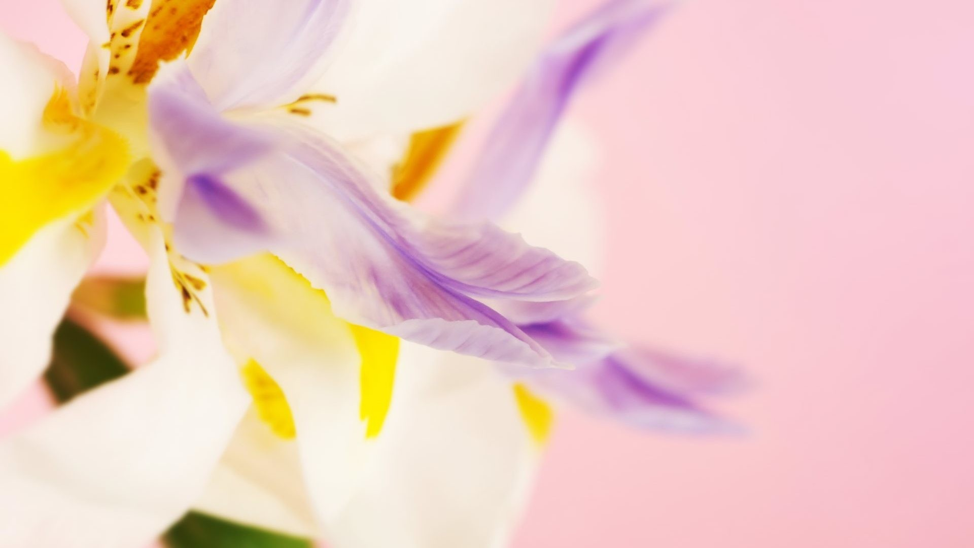 Purple and white wallpaper 76 images 1920x1080 pastel tag colors soft yellow pink pastels petals pastel purple white flower wallpaper ipad for mightylinksfo