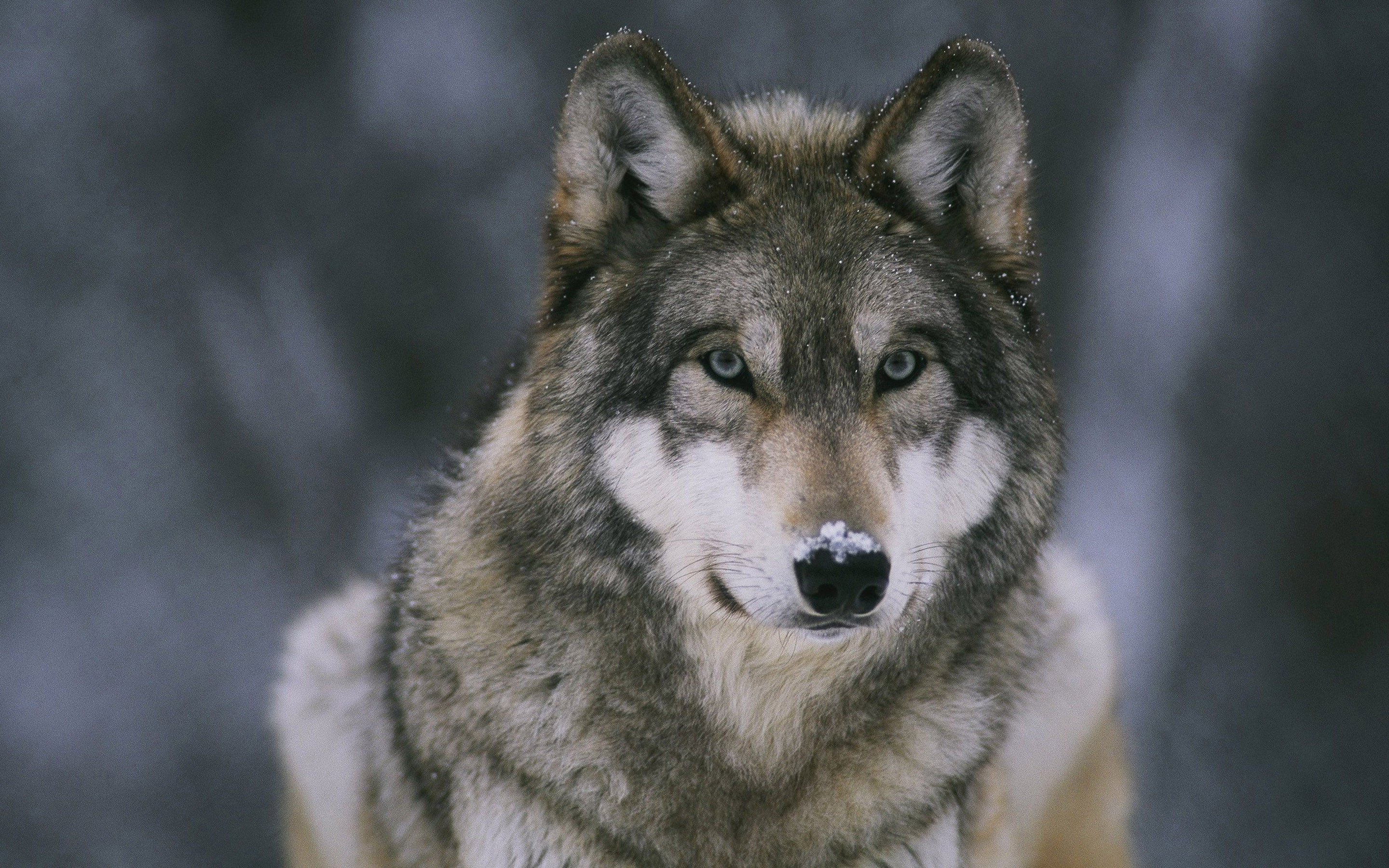 2880x1800 ... Wolf HD Wallpaper