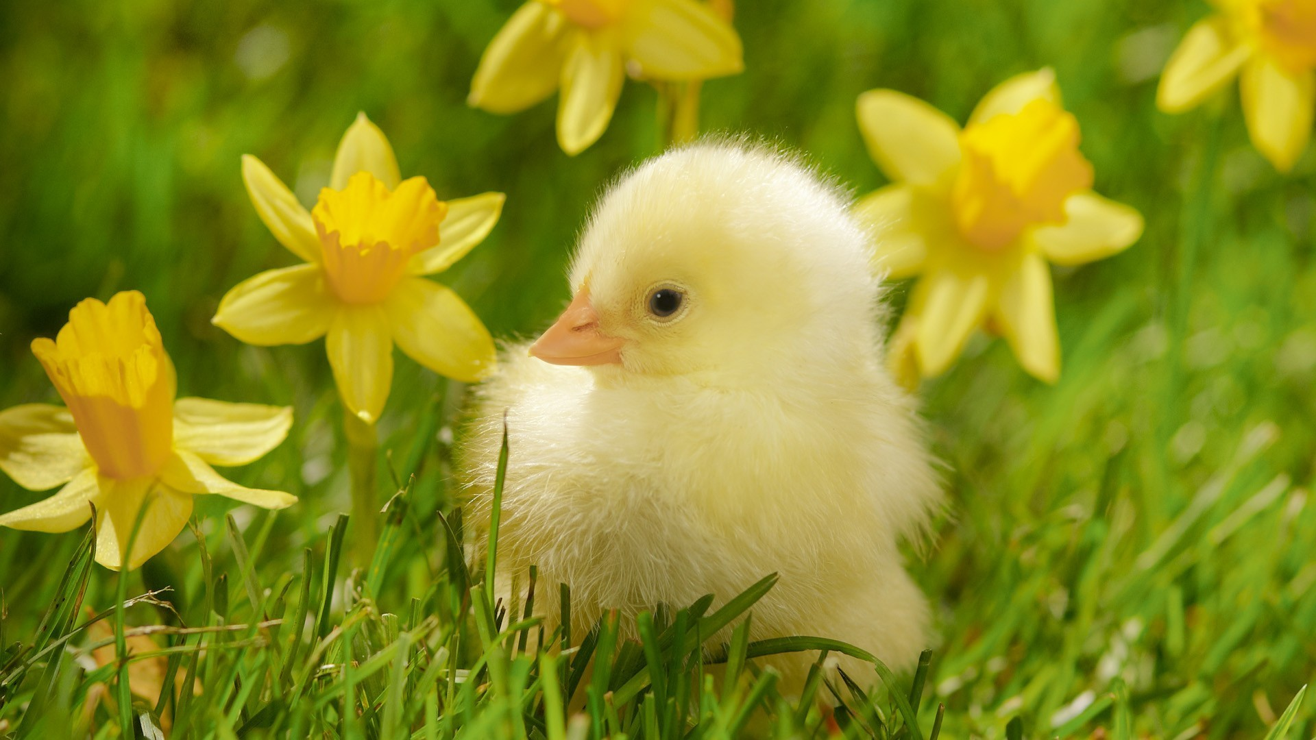 1920x1080  Birds grass spring chickens daffodils yellow flowers wallpaper