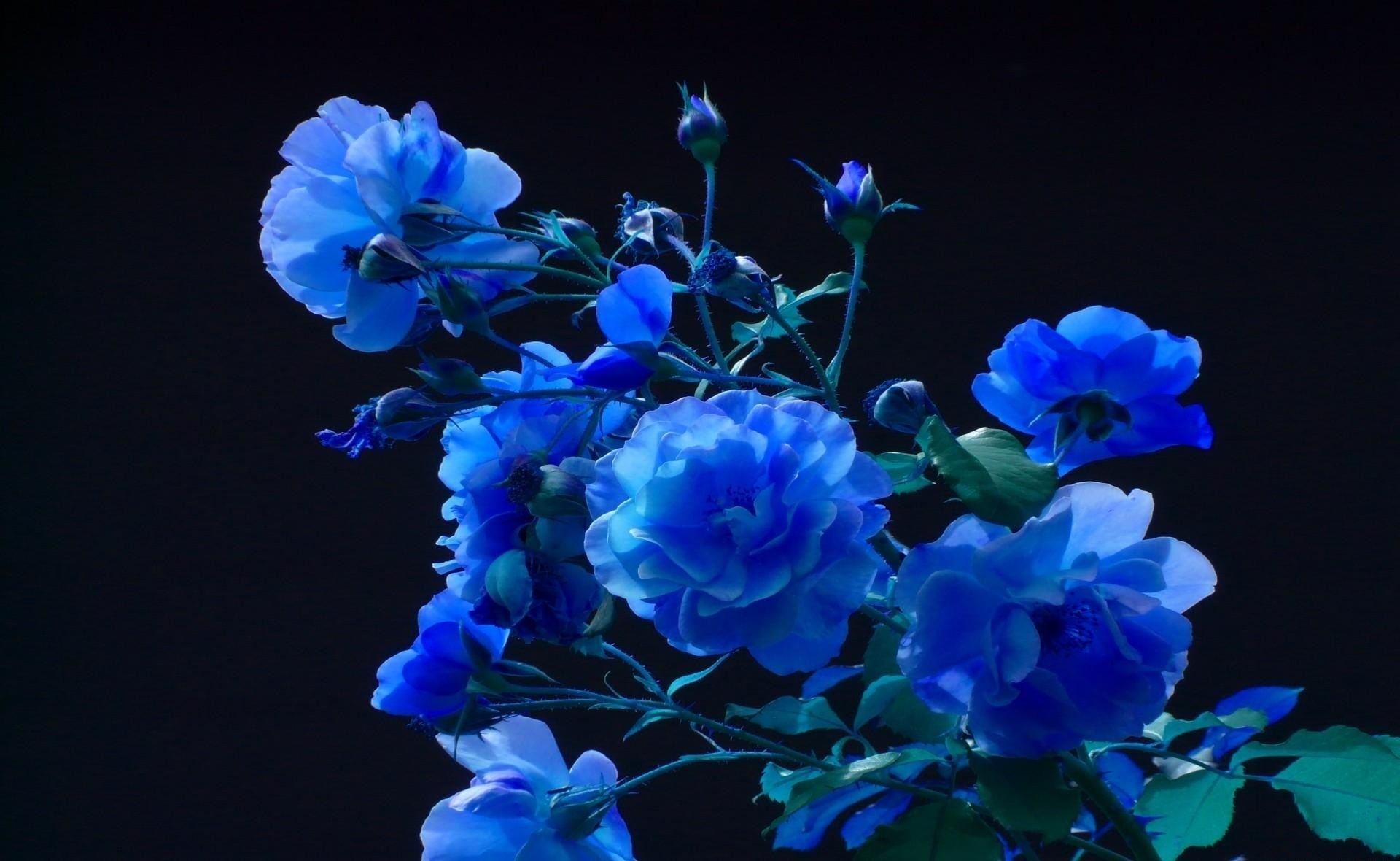 blue roses background (48+ images)