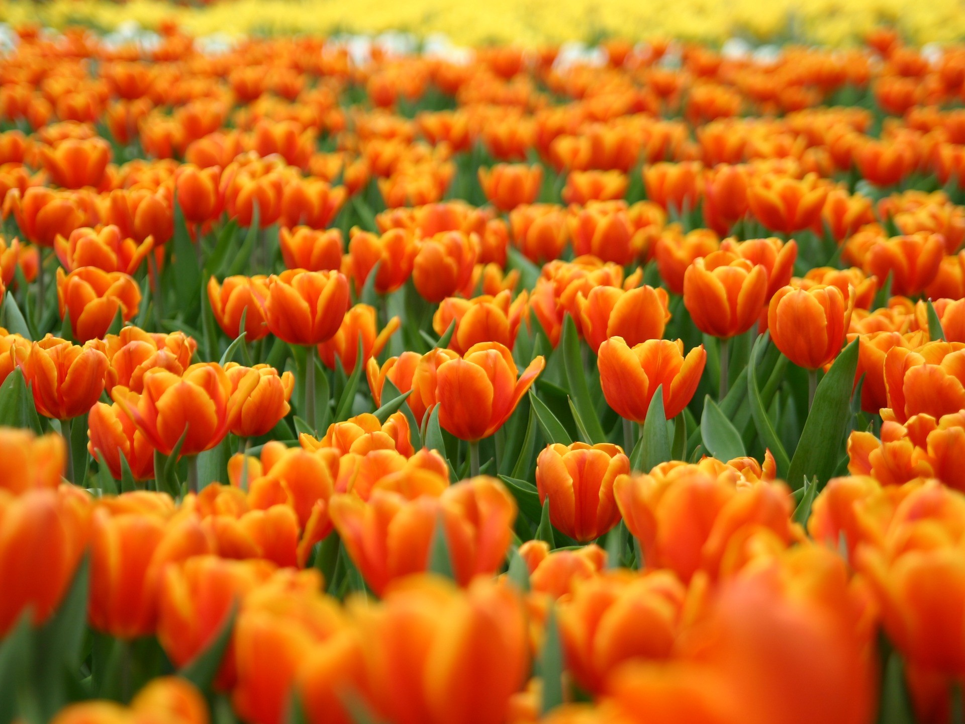 1920x1440 Orange Tulips Wallpaper Flowers Nature