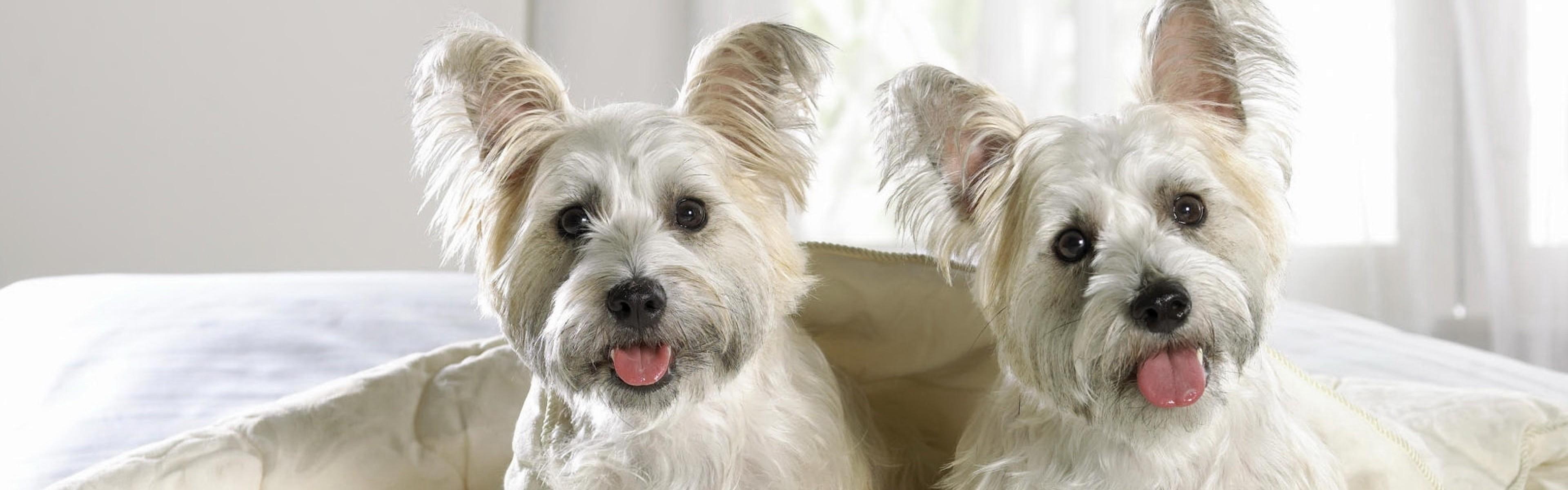 Westie Dog Wallpaper (62+ images)