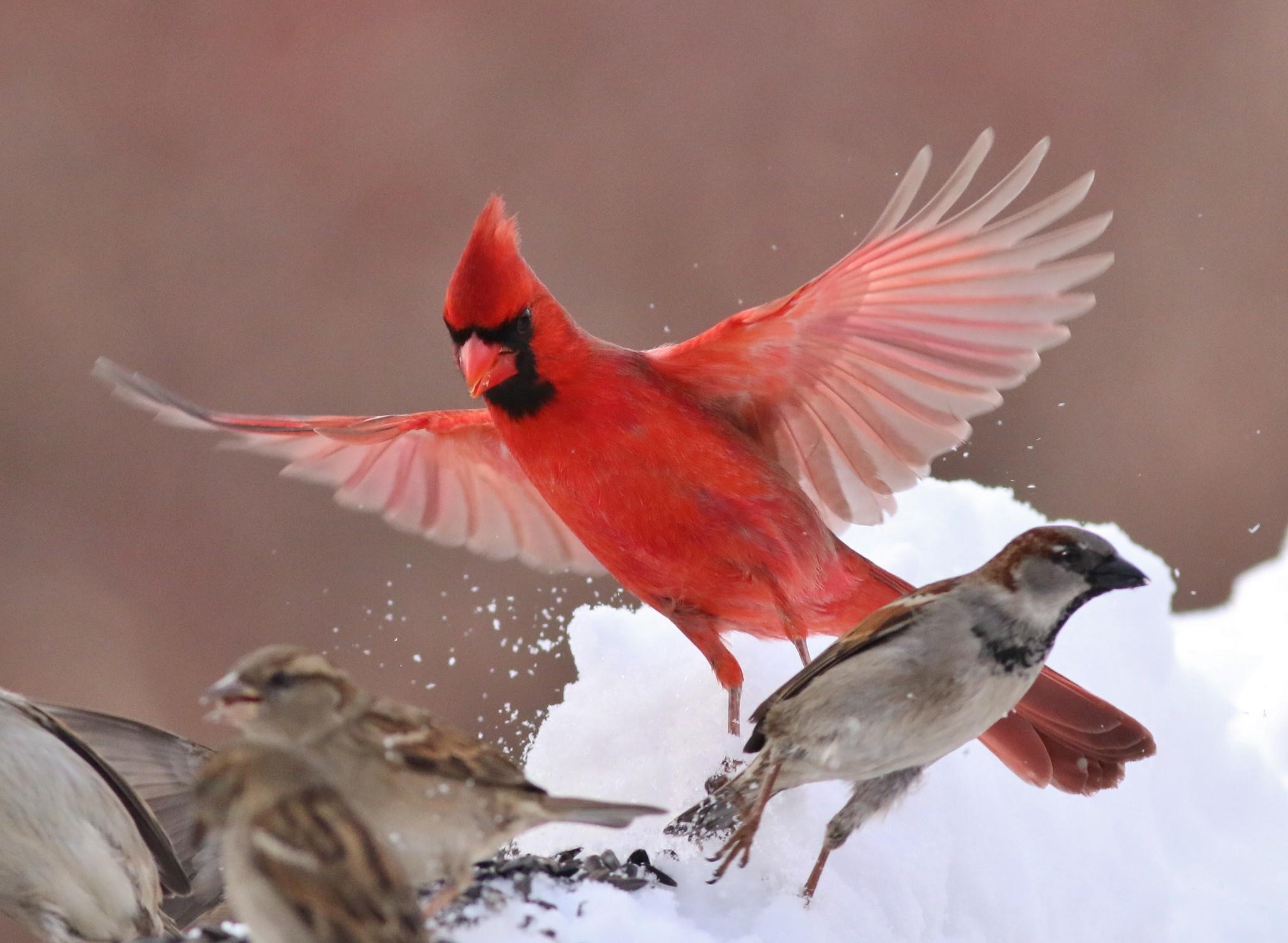 cardinal birds in snow wallpaper 47 images