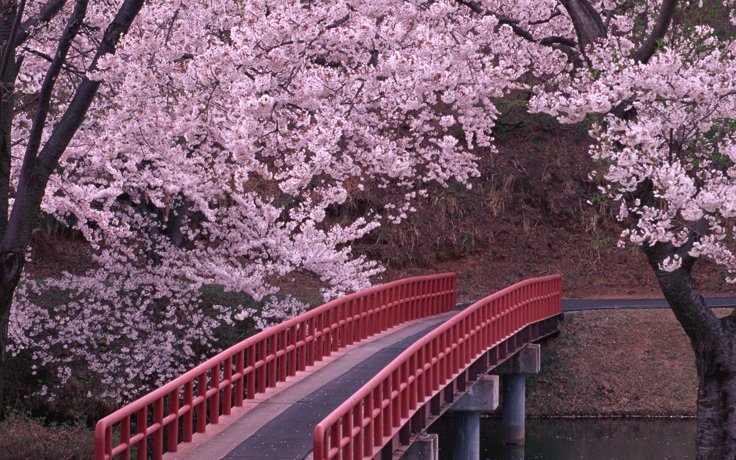 2560x1600 Wallpapers For Japanese Cherry Blossom Wallpaper Anime