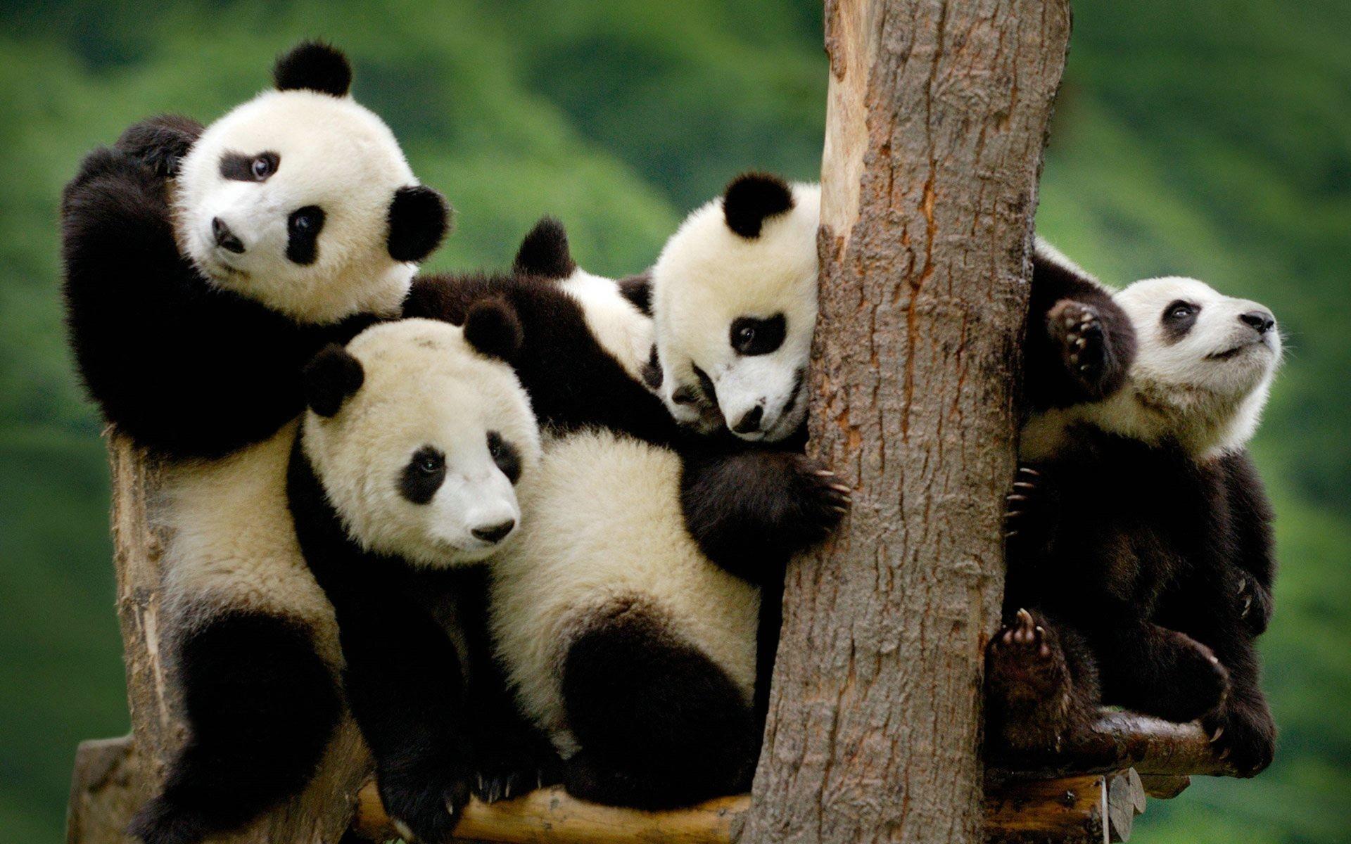 Panda bear wallpaper 64 images for Adorable wallpapers
