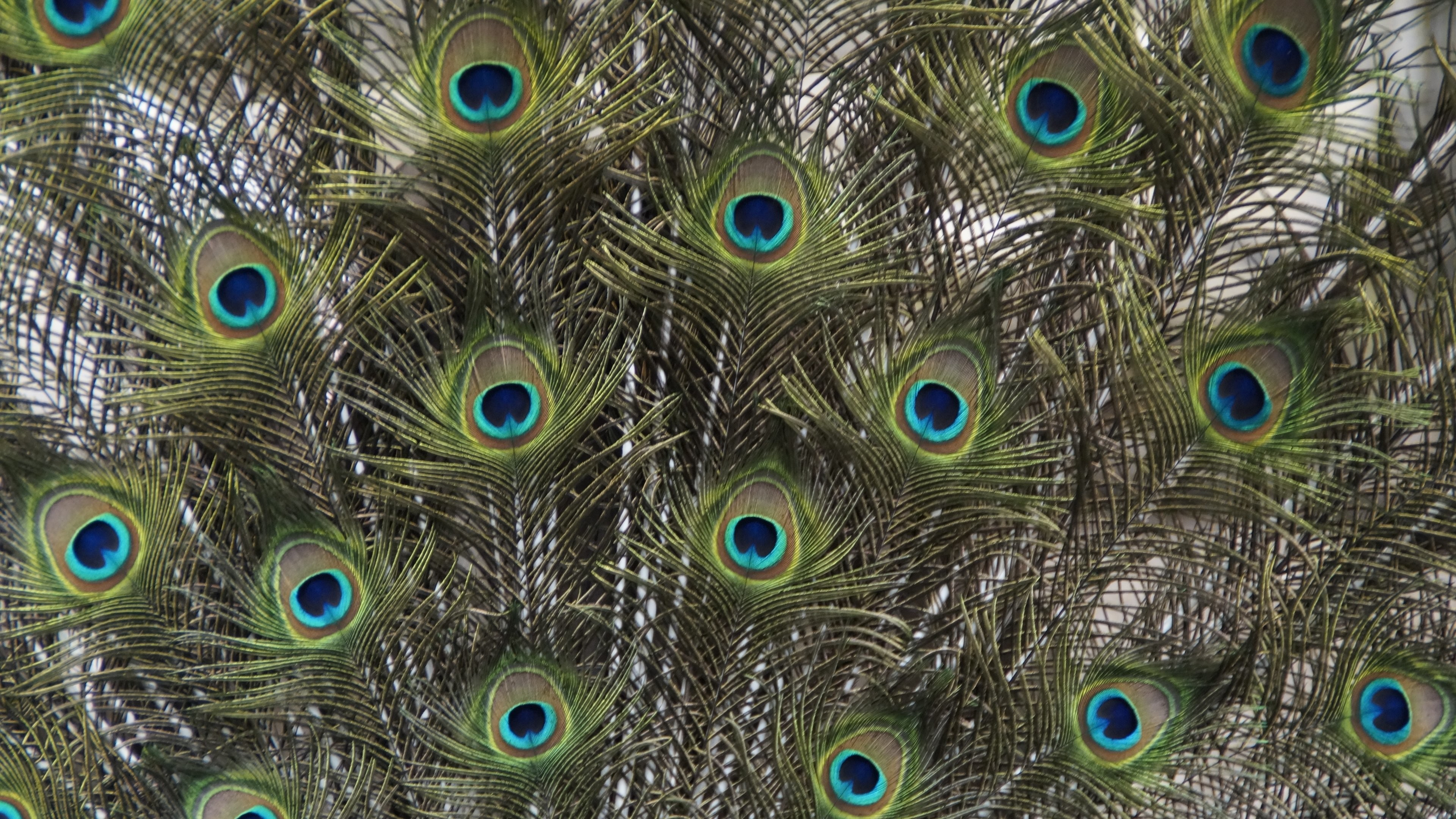 3840x2160 Peacock Feathers