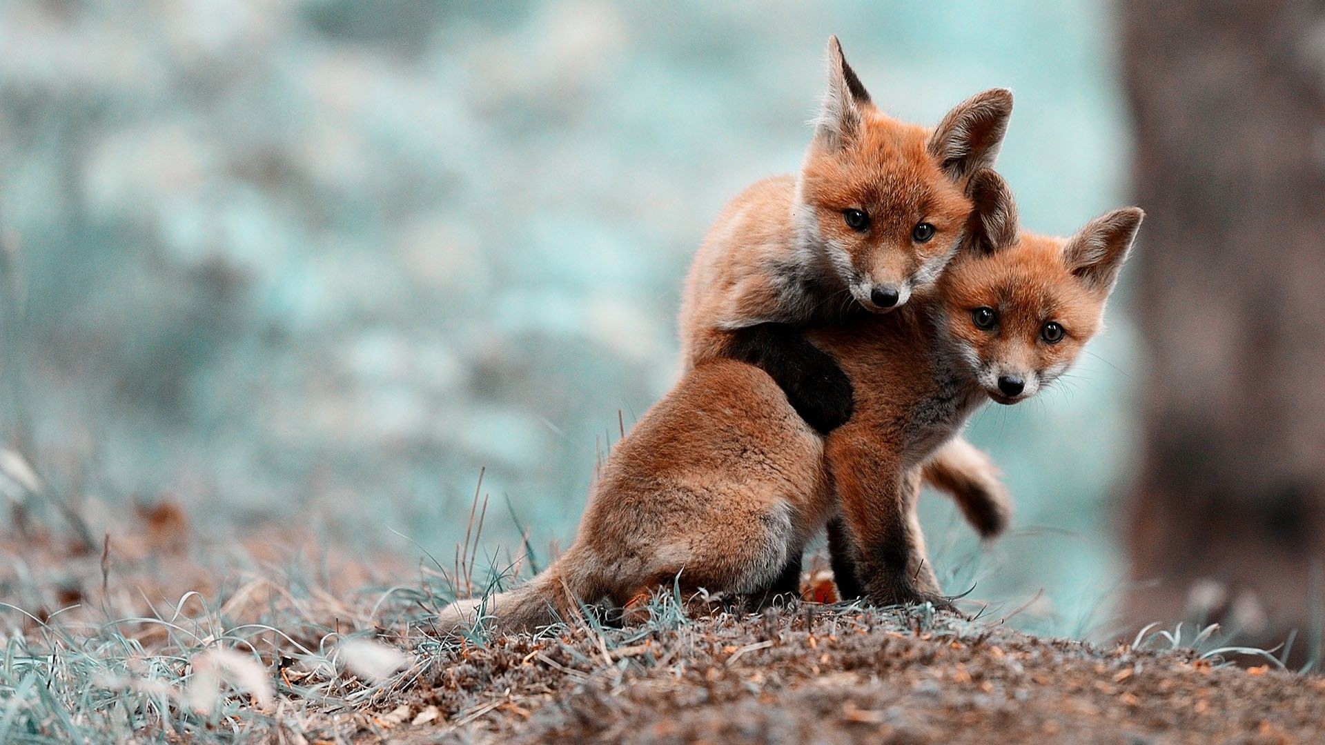 1920x1080 collection animal tags funny forest cute winter animal red foxes love .