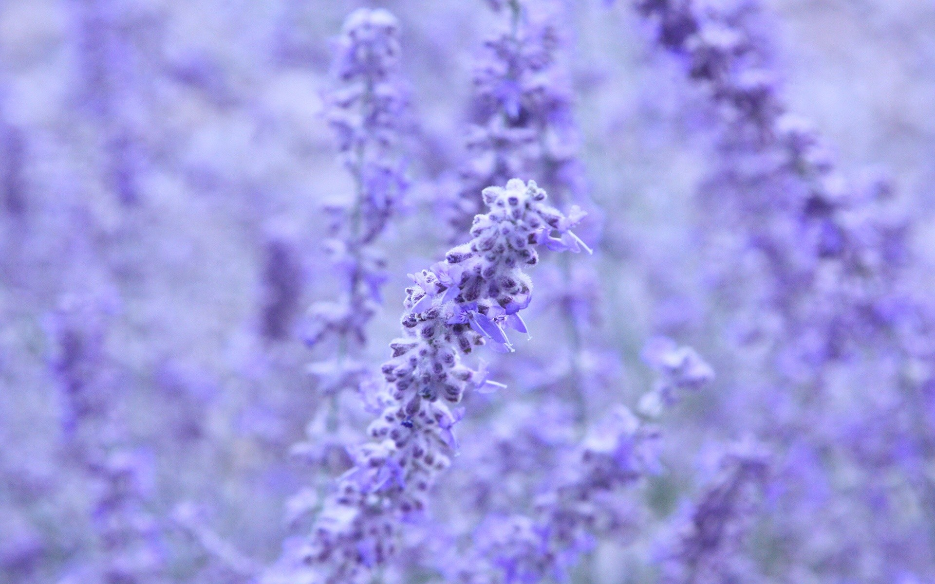1920x1200 Lavender Colored Flowers
