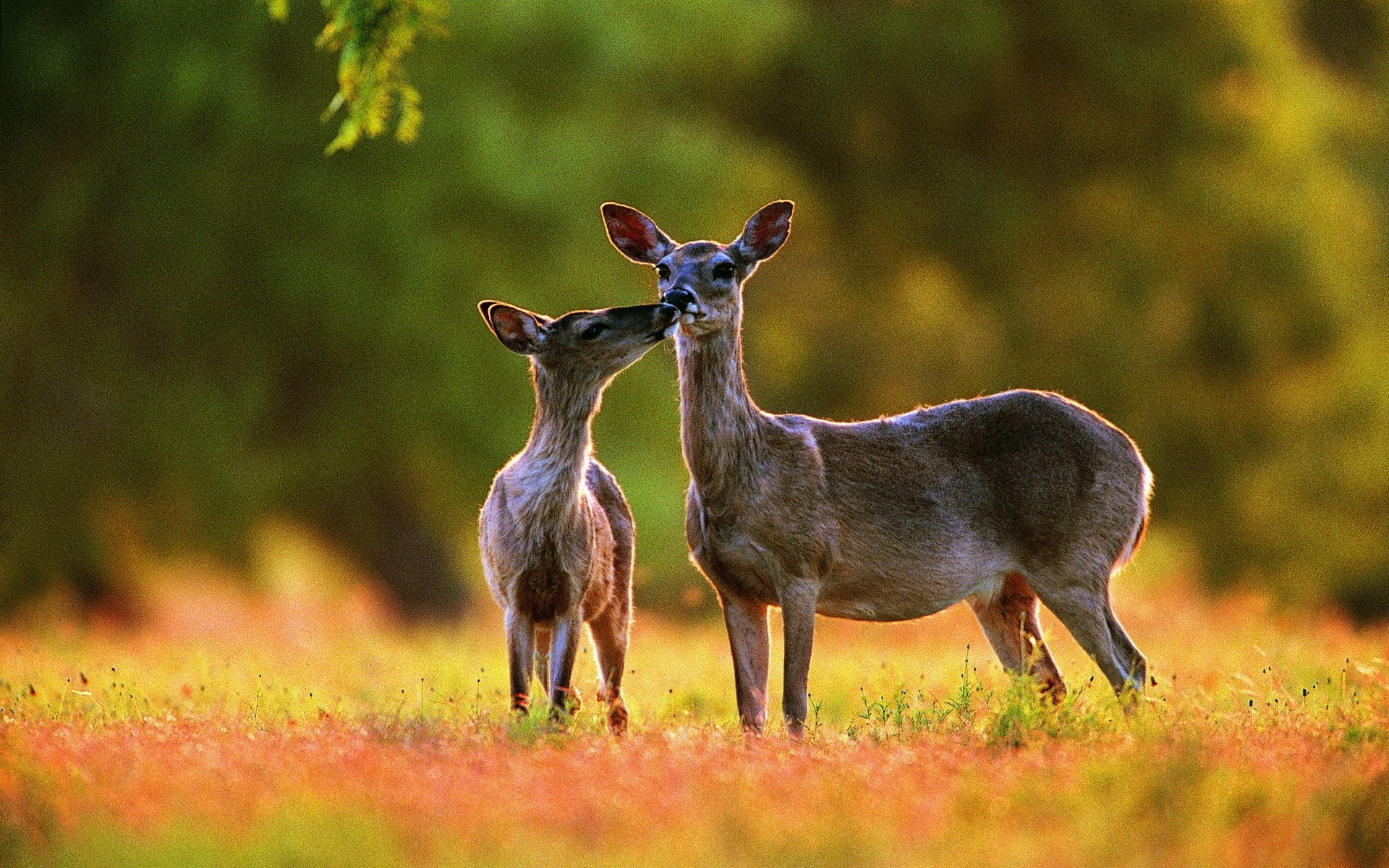1920x1200 HD Wallpaper | Background ID:417780.  Animal Deer