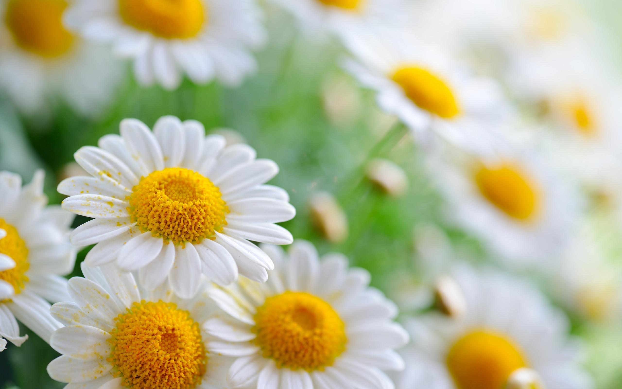 Daisy flower wallpaper 57 images 2560x1600 daisy flower cute wallpaper wallpaper izmirmasajfo