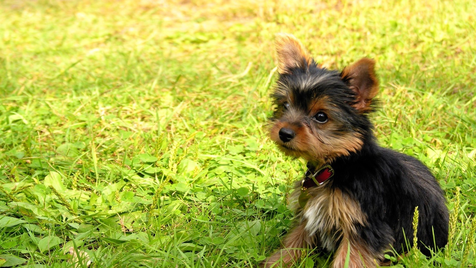 1920x1080 Preview wallpaper yorkshire terrier, puppy, baby, dog, grass