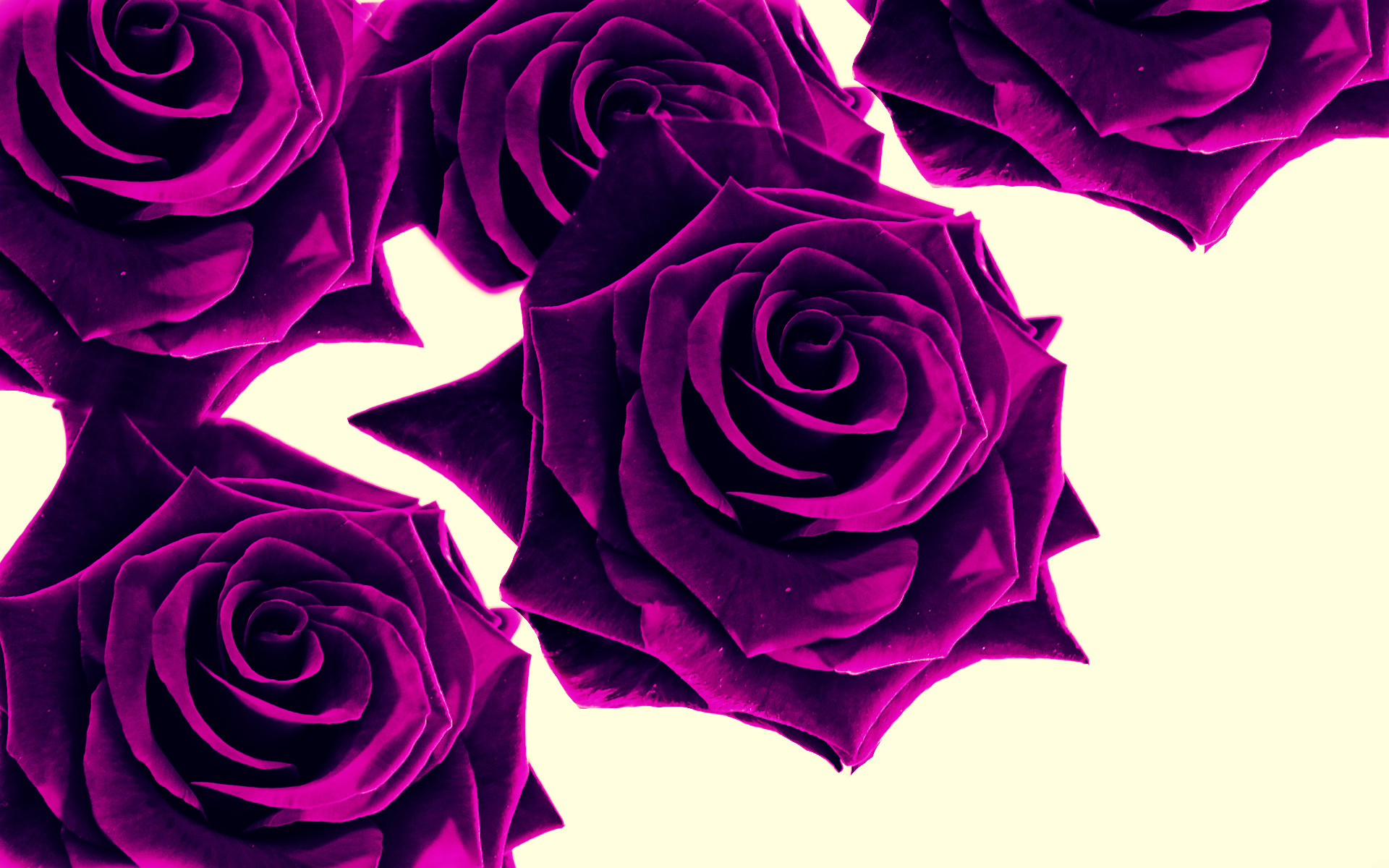 1920x1200 Purple Roses Wallpaper